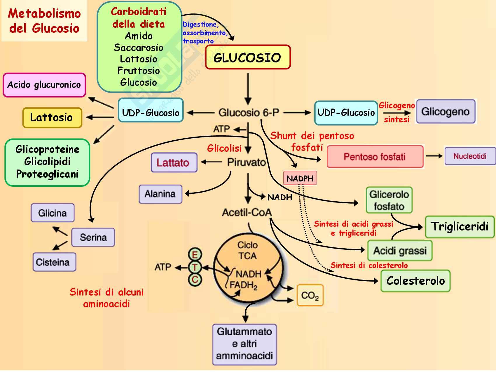 9 Biosintesi degli acidi grassi, reazioni chimiche, regolazione e funzioni