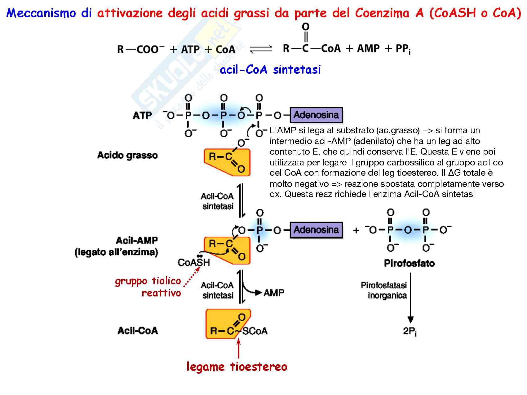9 Biosintesi degli acidi grassi, reazioni chimiche, regolazione e funzioni Pag. 21
