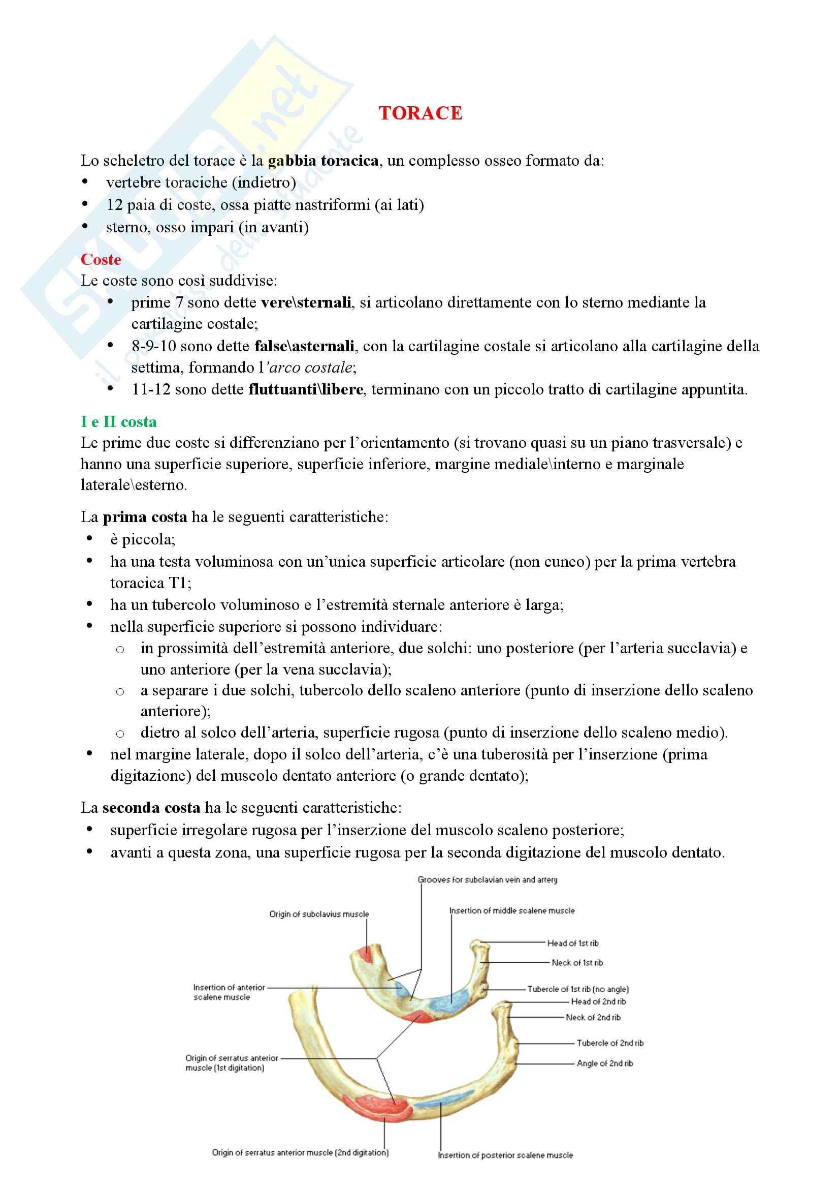 Anatomia - Torace