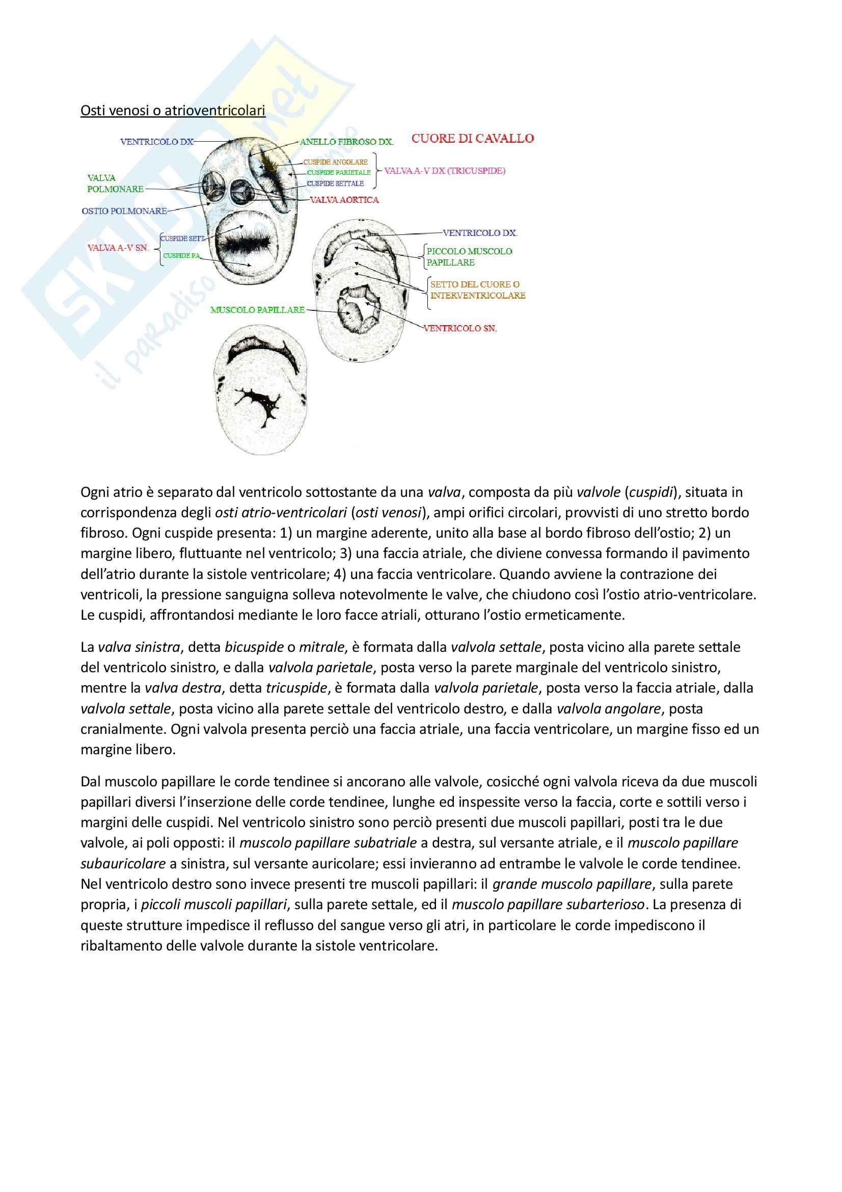 Apparato Cardiocircolatorio, Anatomia comparata Pag. 16
