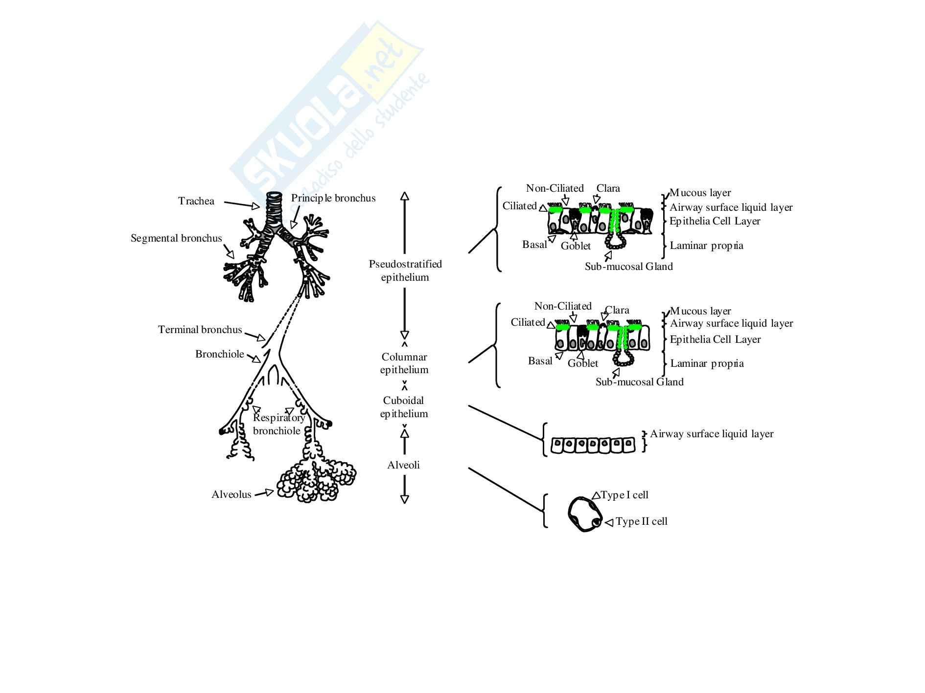 Fisiopatologia - Polmone
