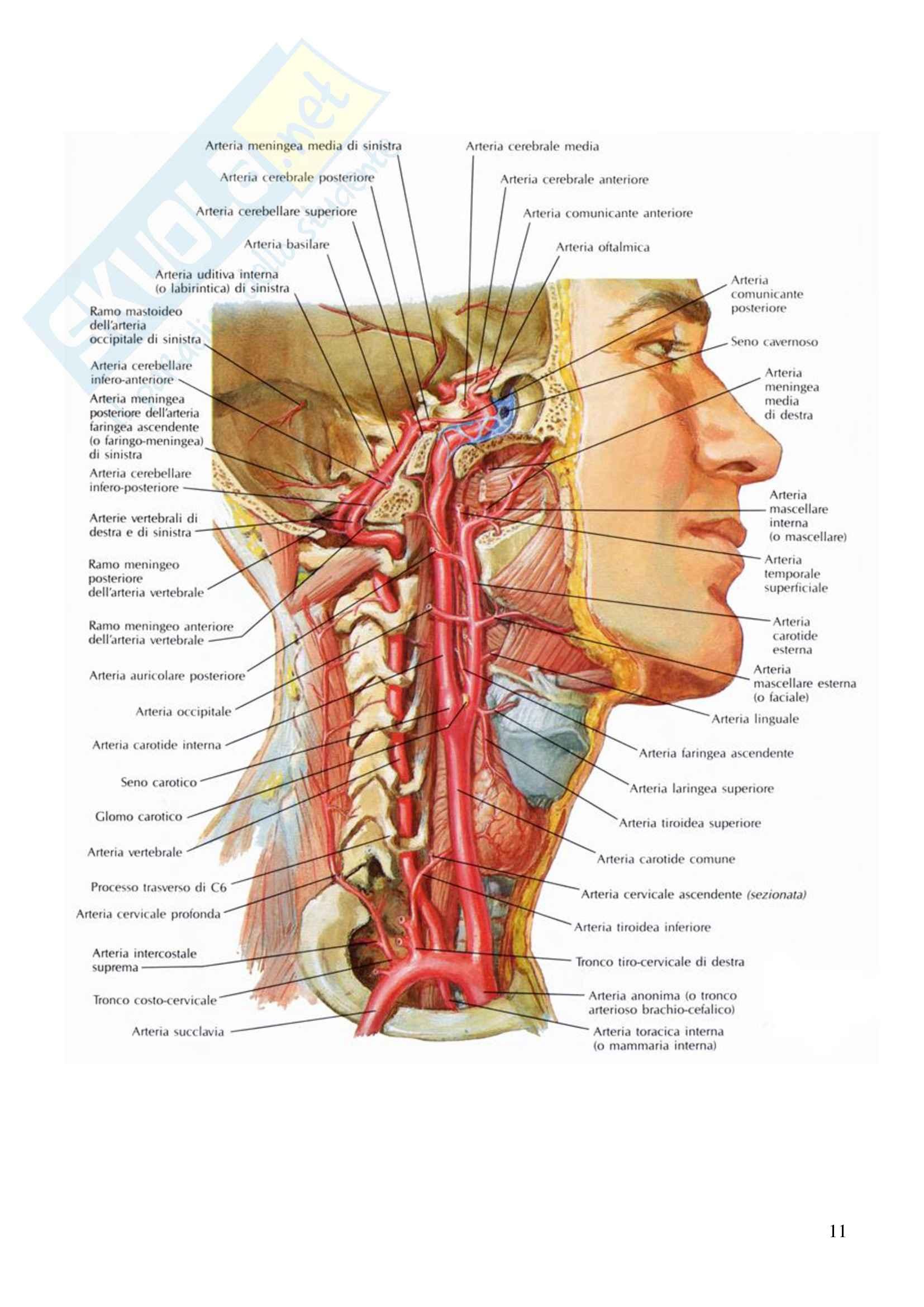 Vascolarizzazione del cranio, Anatomia dell'Apparato stomatognatico Pag. 11