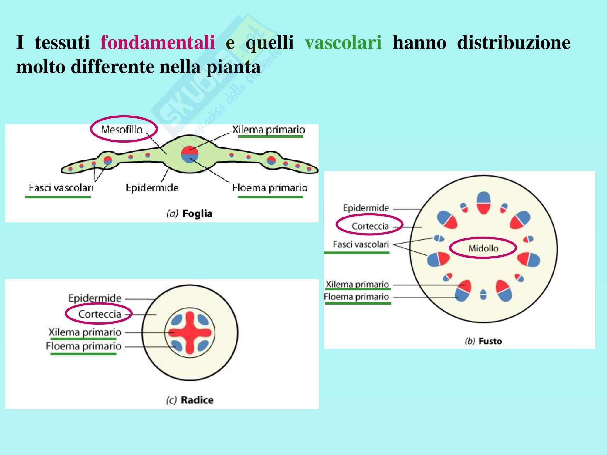 Biologia vegetale - tessuti fondamentali e vascolari Pag. 2