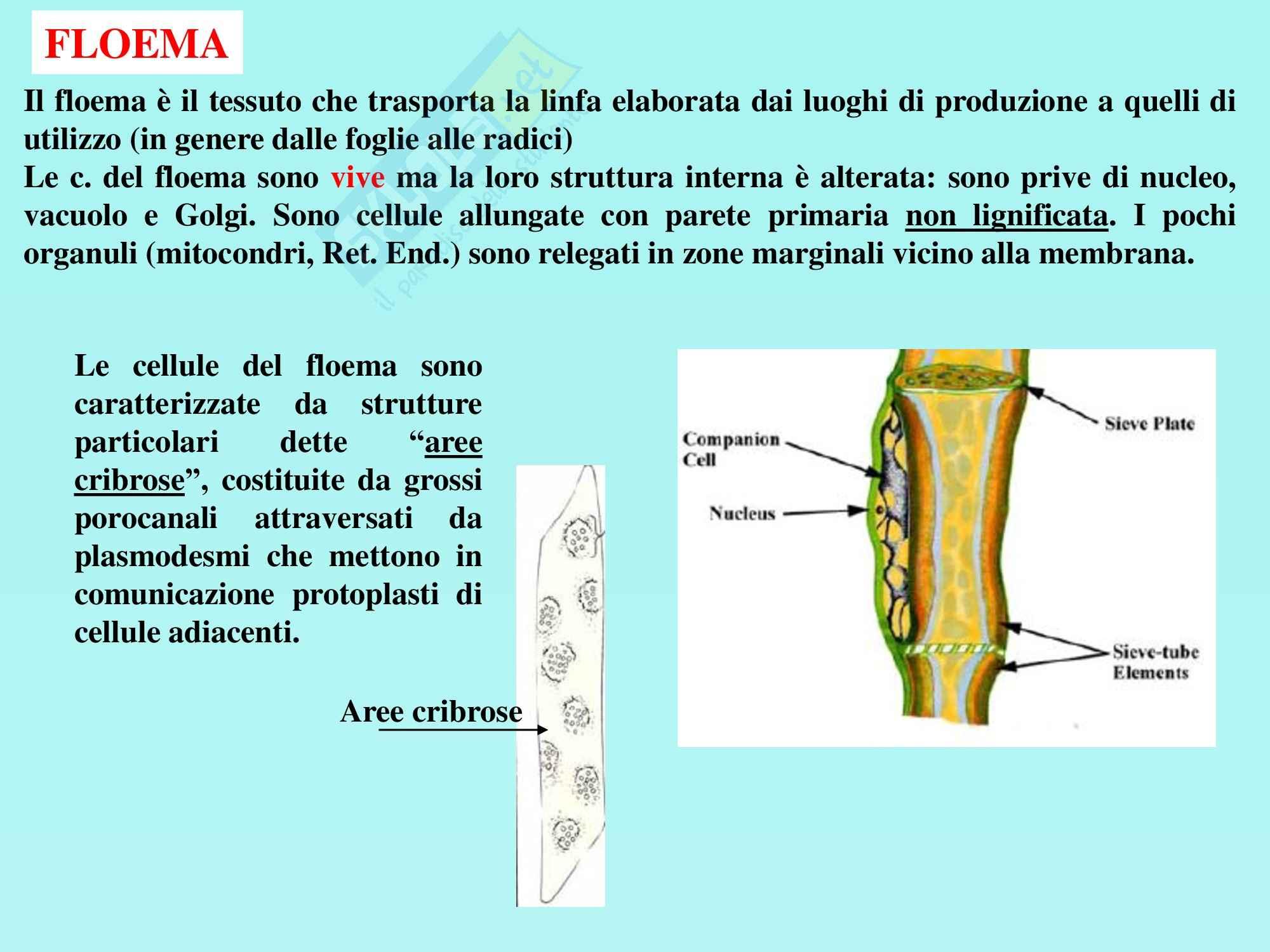 Biologia vegetale - tessuti fondamentali e vascolari Pag. 36
