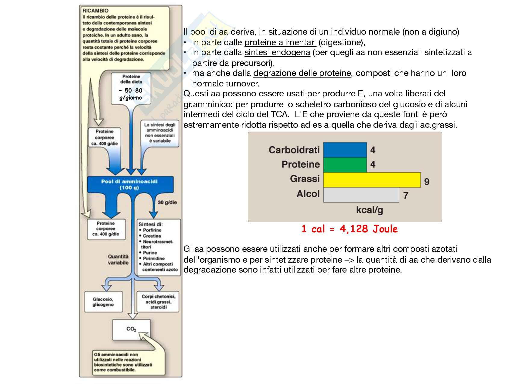 24 Metabolismo degli aminoacidi Reazioni di deaminazione e ciclo dell urea Pag. 2