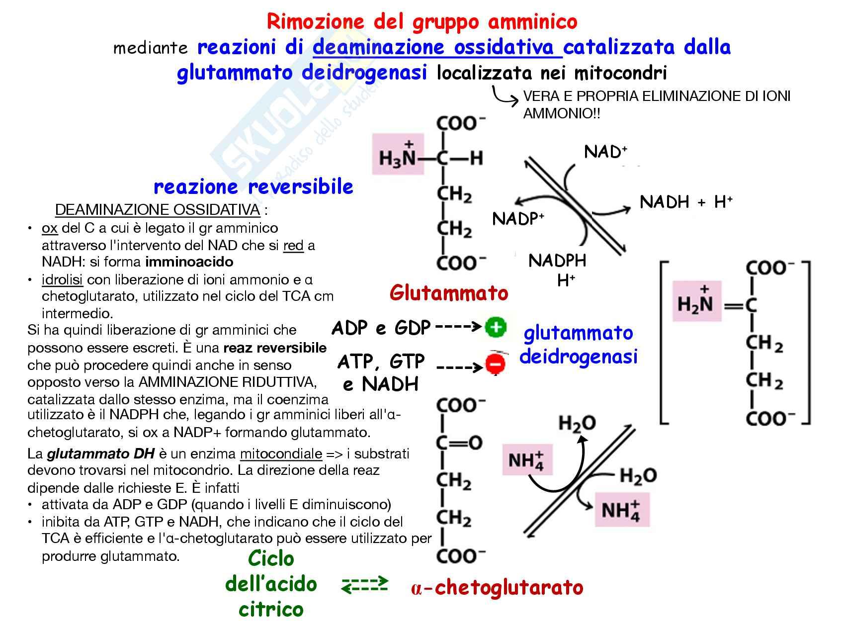 24 Metabolismo degli aminoacidi Reazioni di deaminazione e ciclo dell urea Pag. 6
