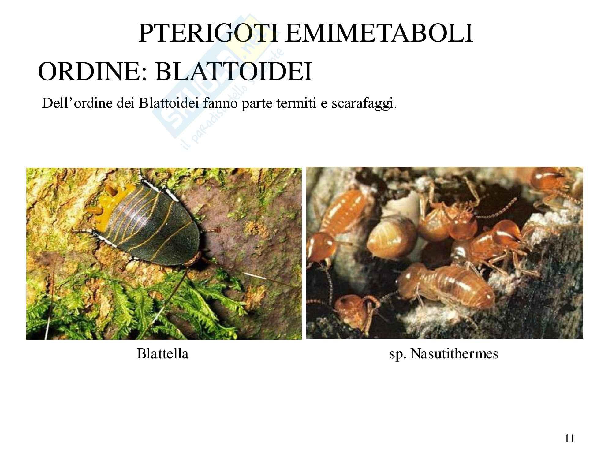 Insetti sistematica, zoologia, scienze biologiche Pag. 11