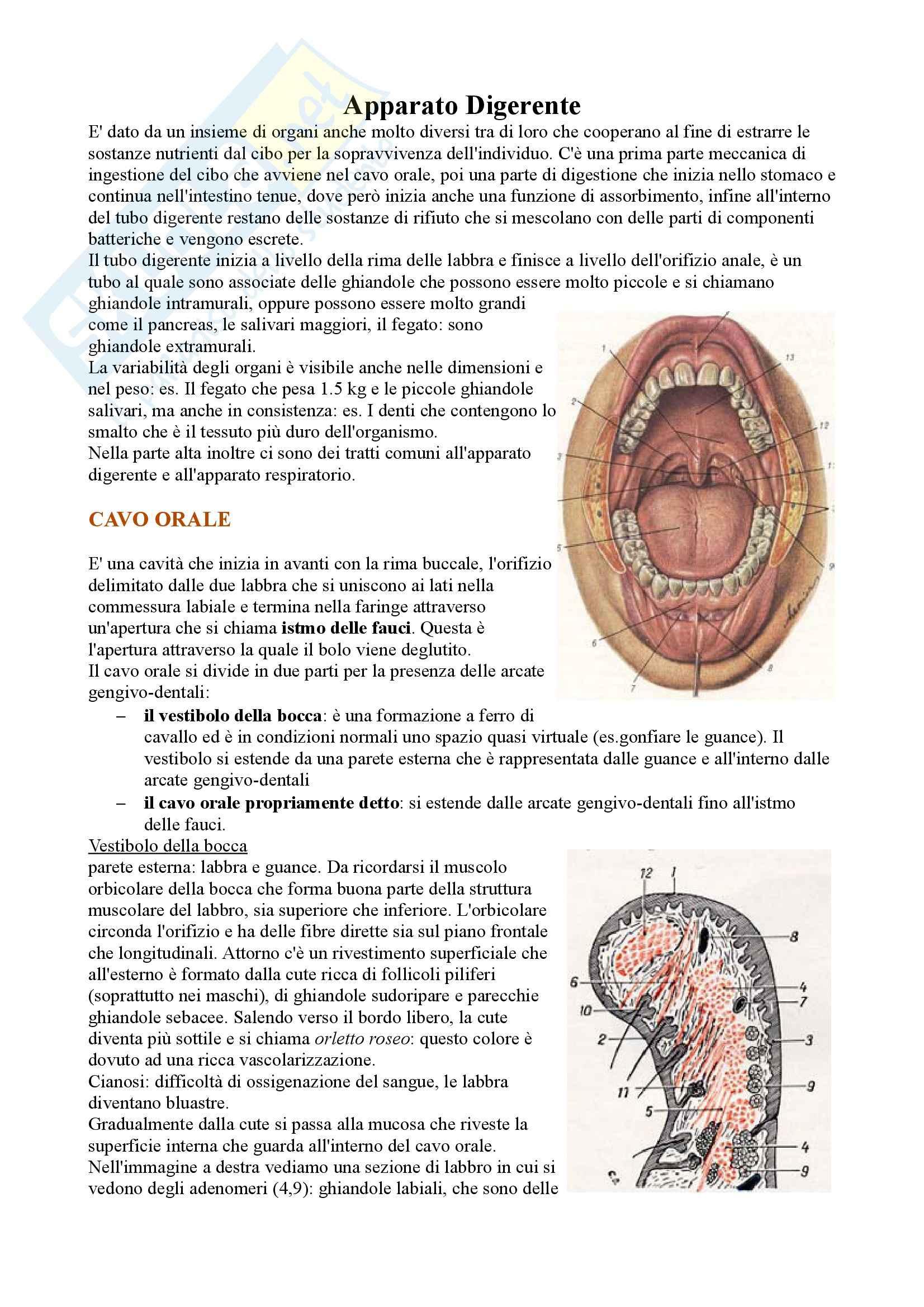 Apparato Digerente, Anatomia