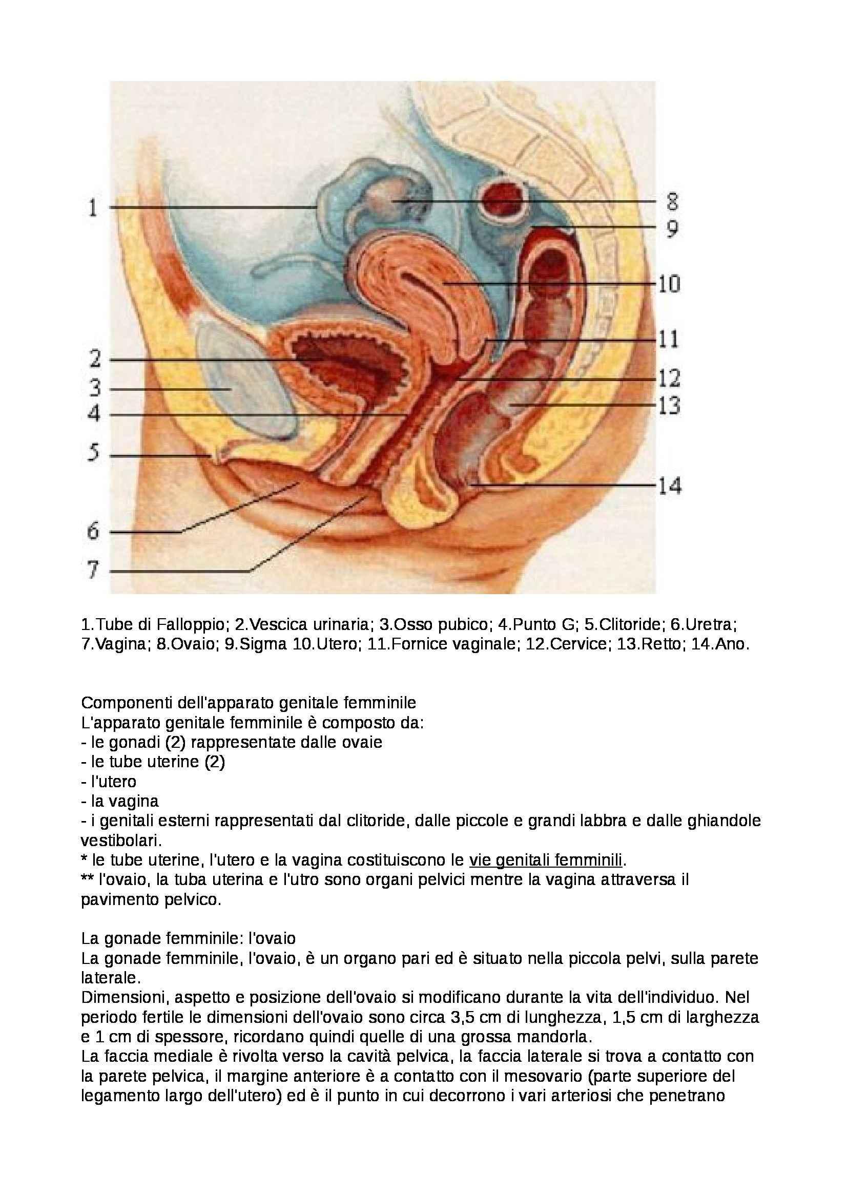 Anatomia umana - apparato genitale femminile