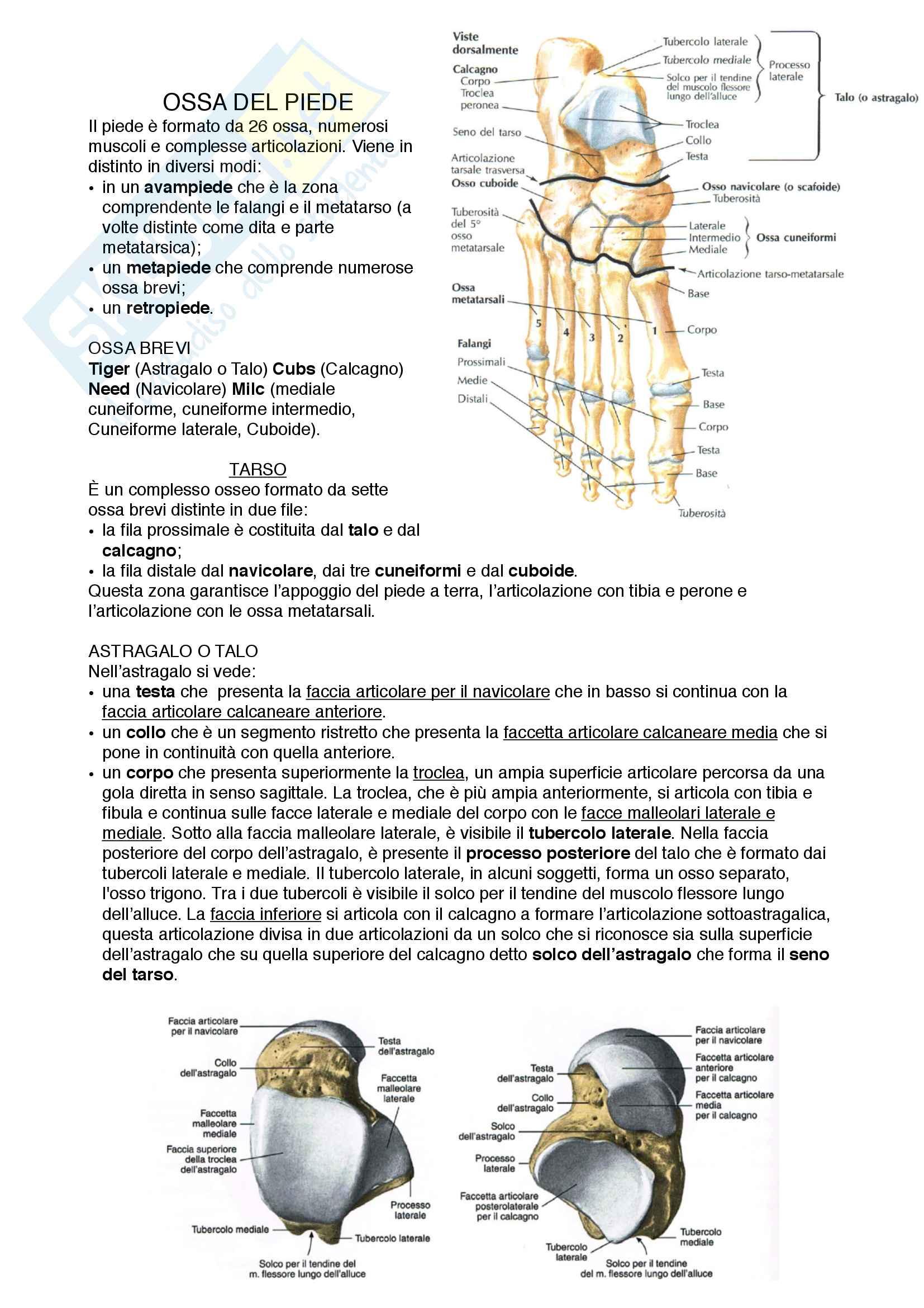 Documento completo per esame Anatomia I-Arto inferiore, UNIPD Pag. 11