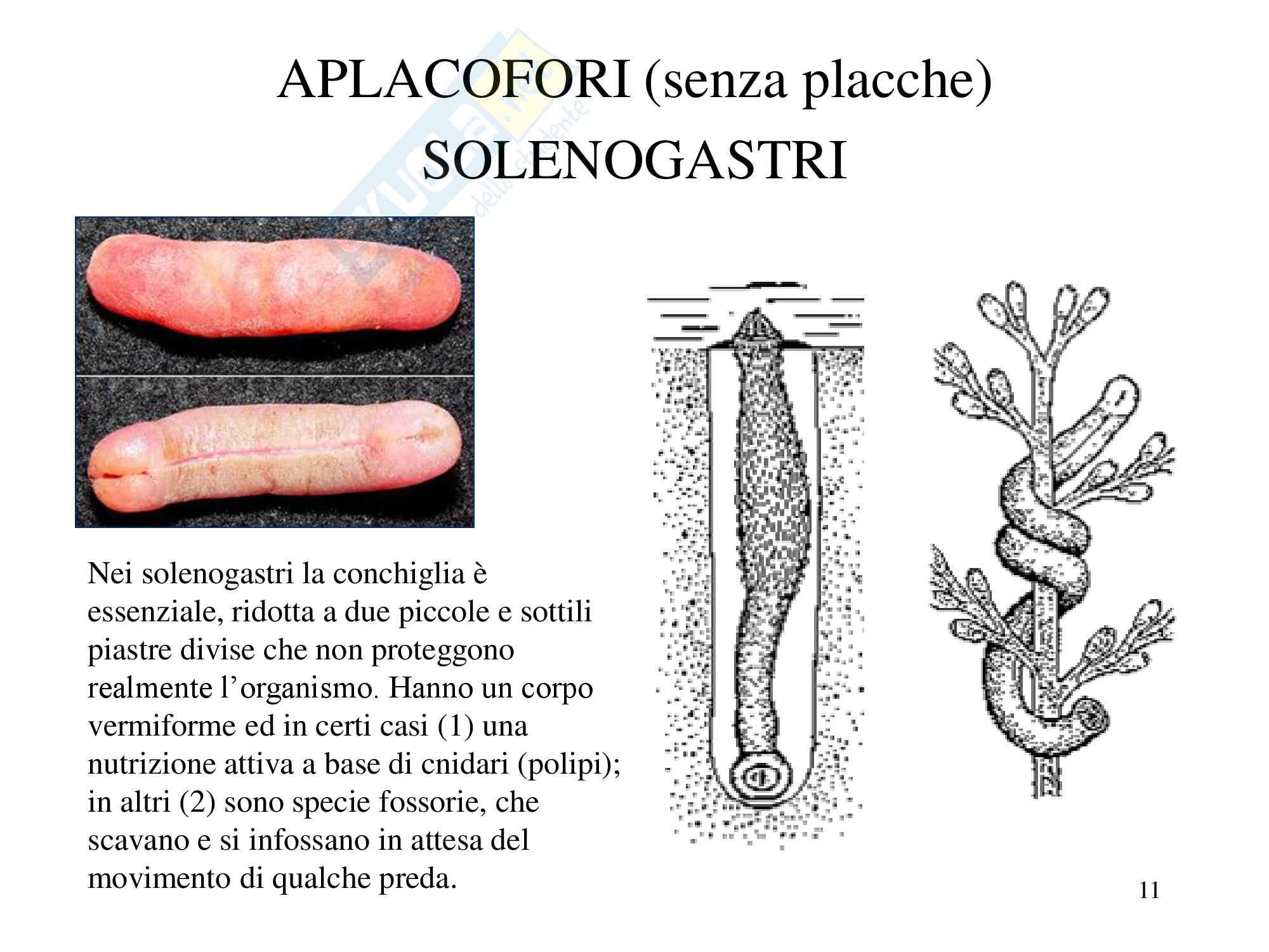 Molluschi, zoologia, scienze biologiche Pag. 11