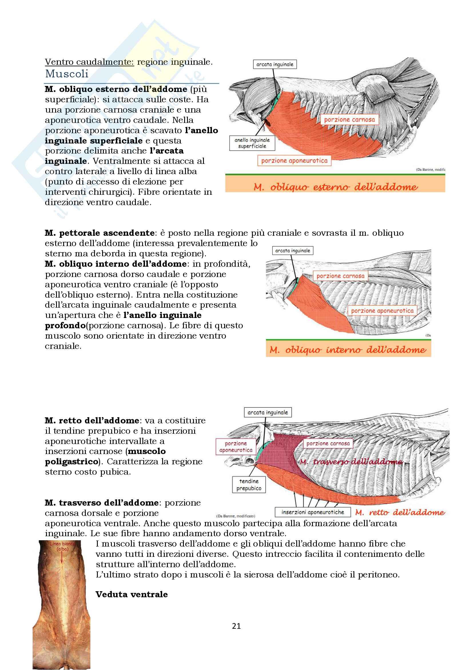 Anatomia topografica veterinaria parte II (piccoli e grandi animali) Pag. 21