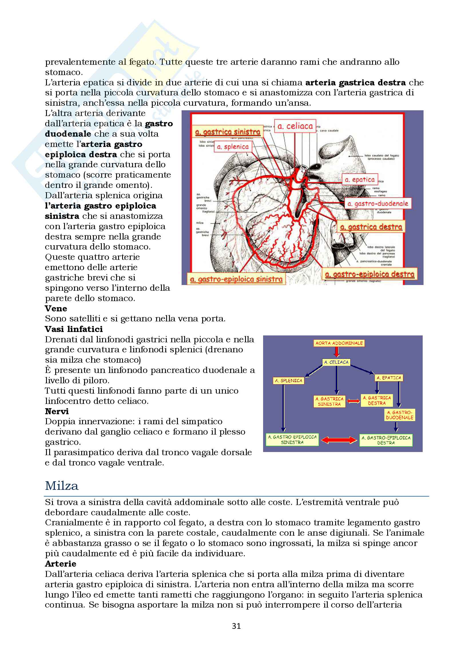 Anatomia topografica veterinaria parte II (piccoli e grandi animali) Pag. 31