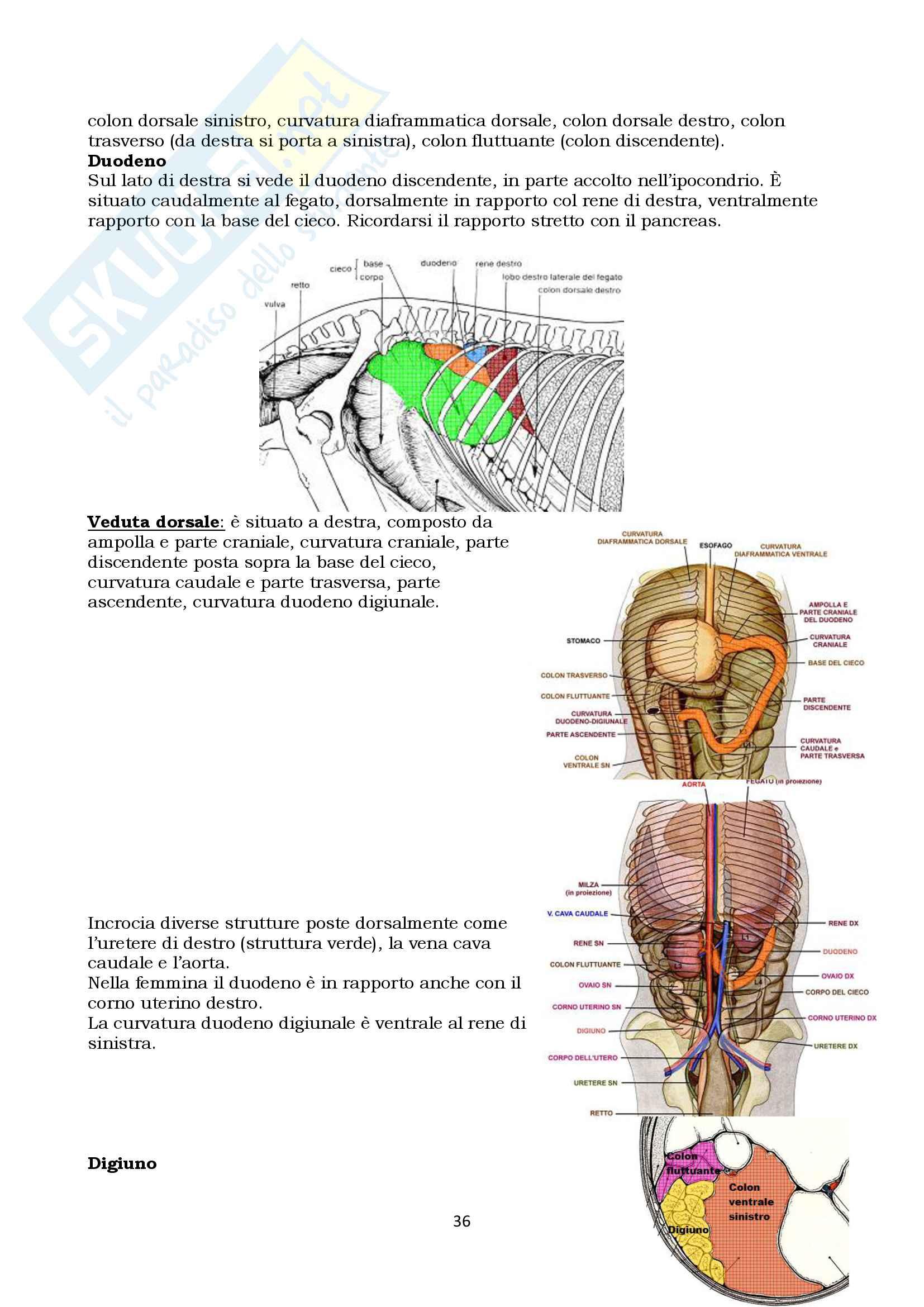 Anatomia topografica veterinaria parte II (piccoli e grandi animali) Pag. 36