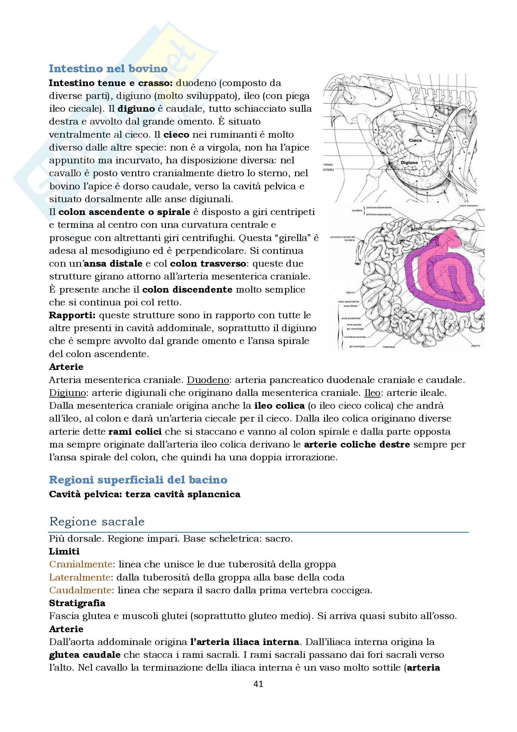 Anatomia topografica veterinaria parte II (piccoli e grandi animali) Pag. 41