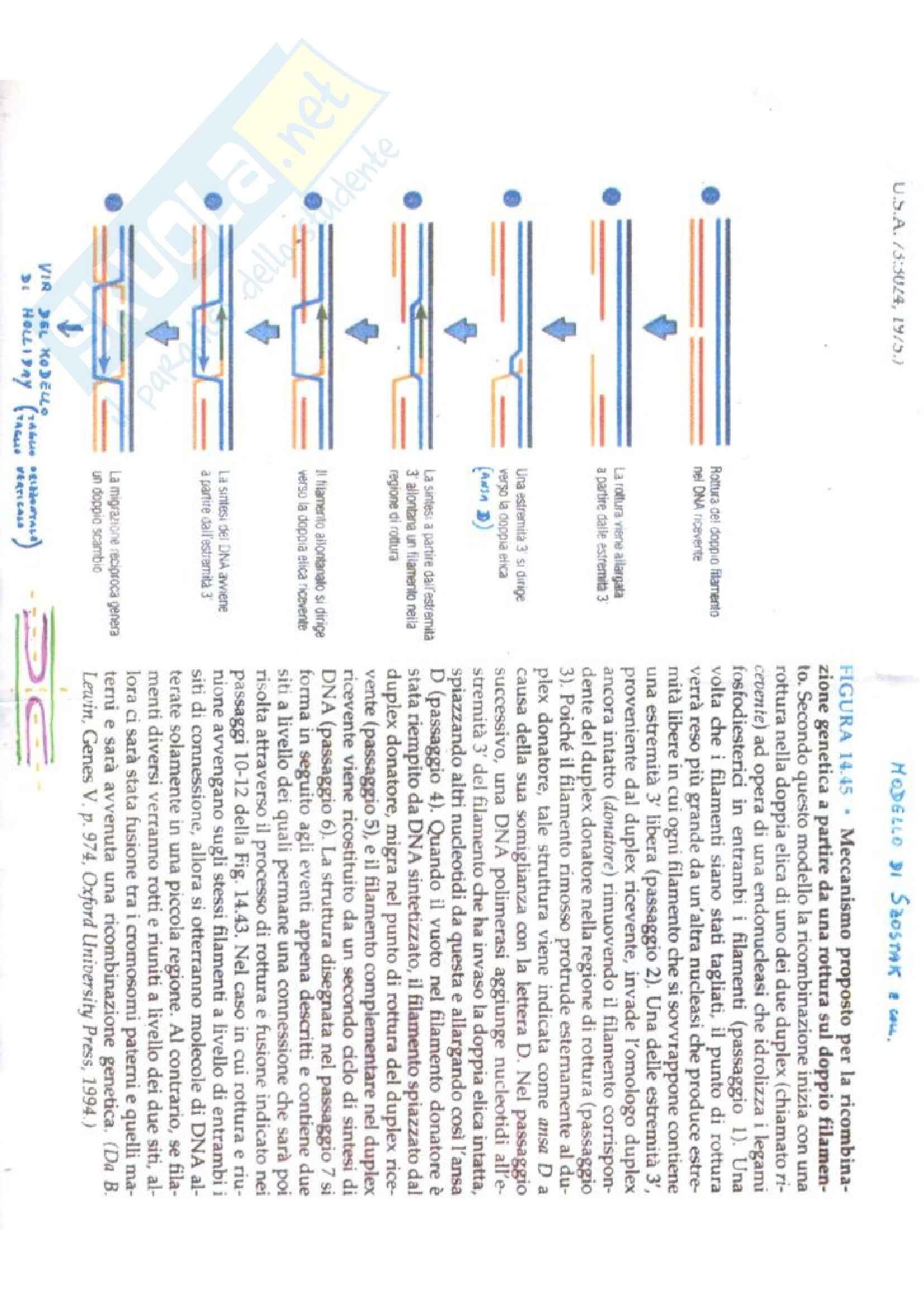 Biologia e genetica - modello di Szostak