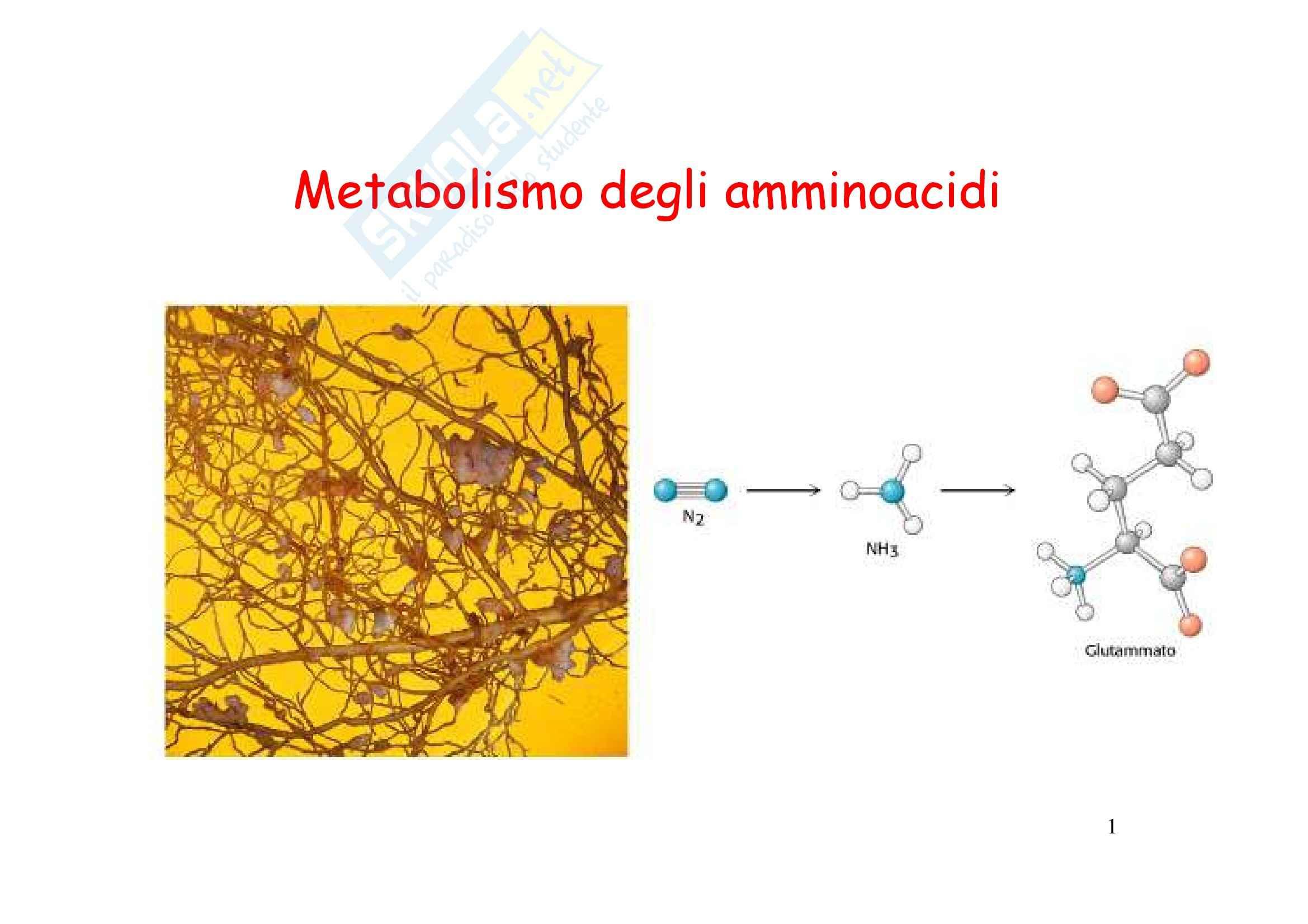 Biochimica e biologia molecolare - metabolismo degli amminoacidi