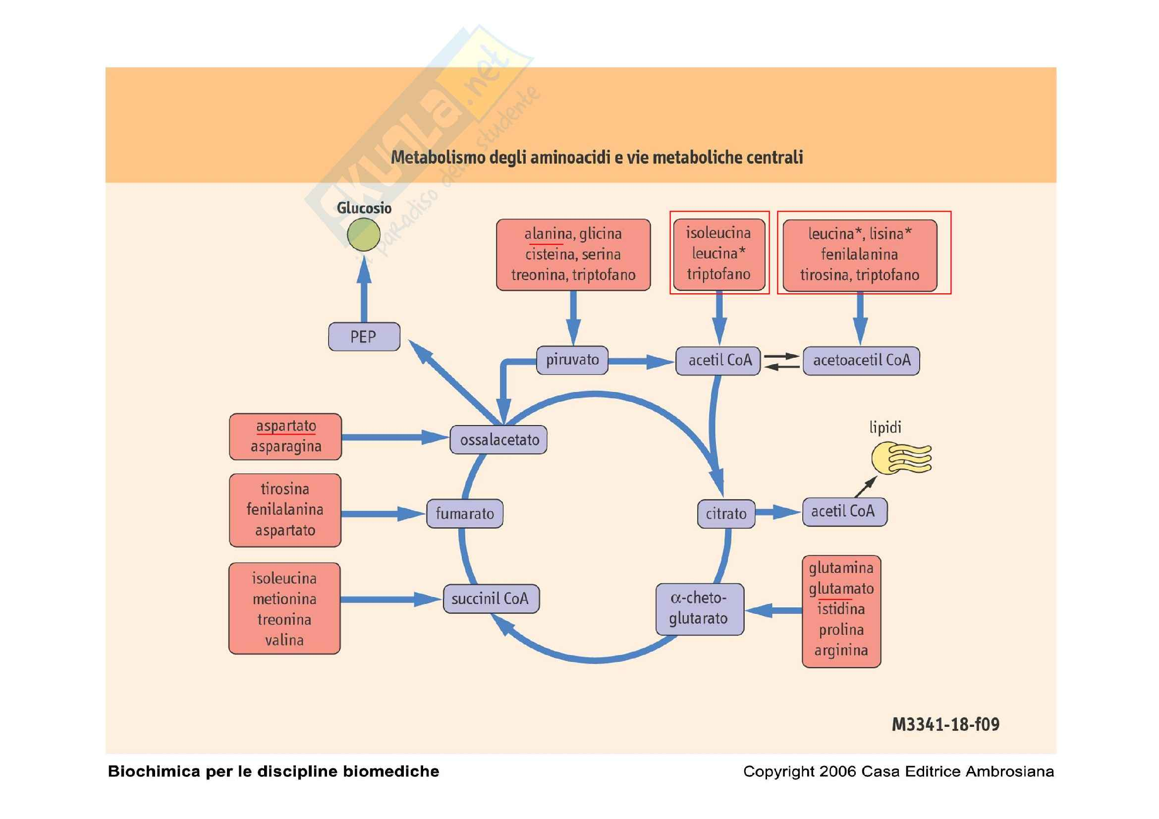 Biochimica e biologia molecolare - metabolismo degli amminoacidi Pag. 2