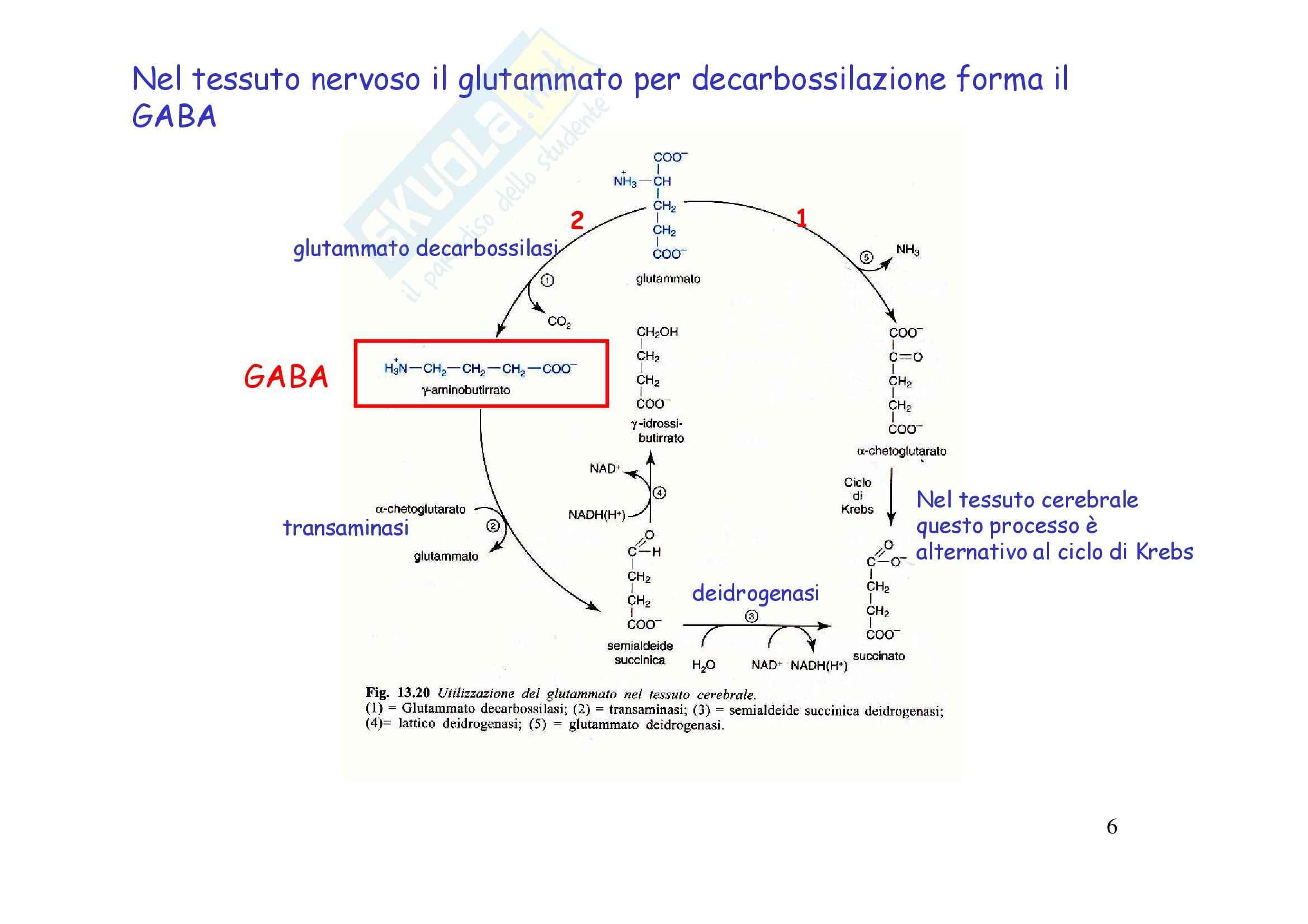 Biochimica e biologia molecolare - metabolismo degli amminoacidi Pag. 6
