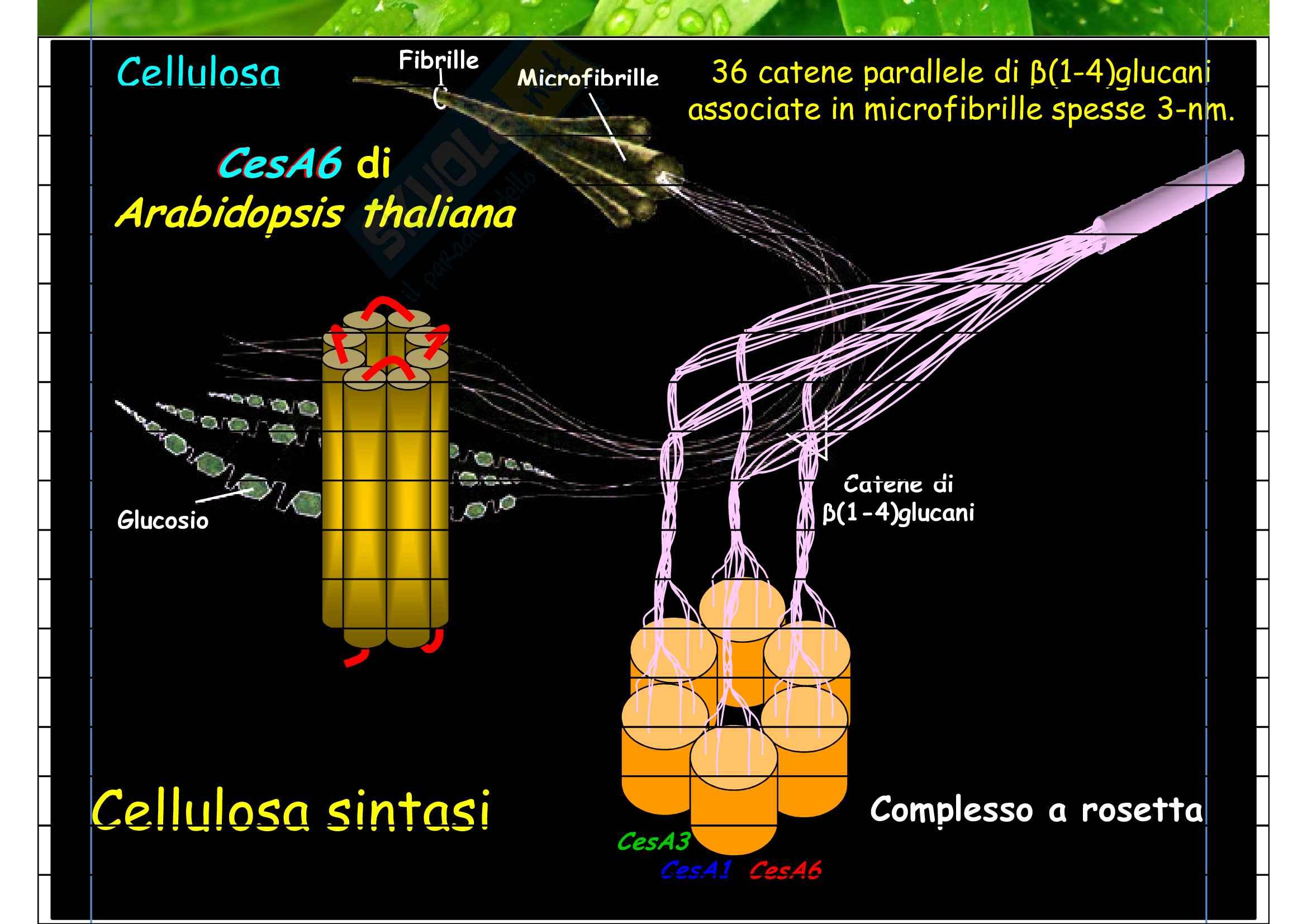 Microfibrille di cellulosa Pag. 6