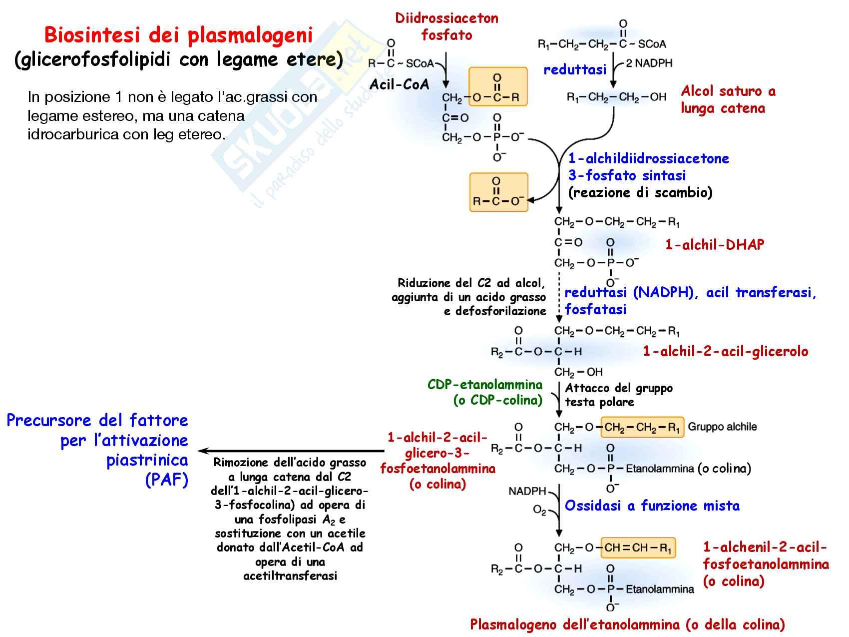 14 Metabolismo dei lipidi di membrana Pag. 11