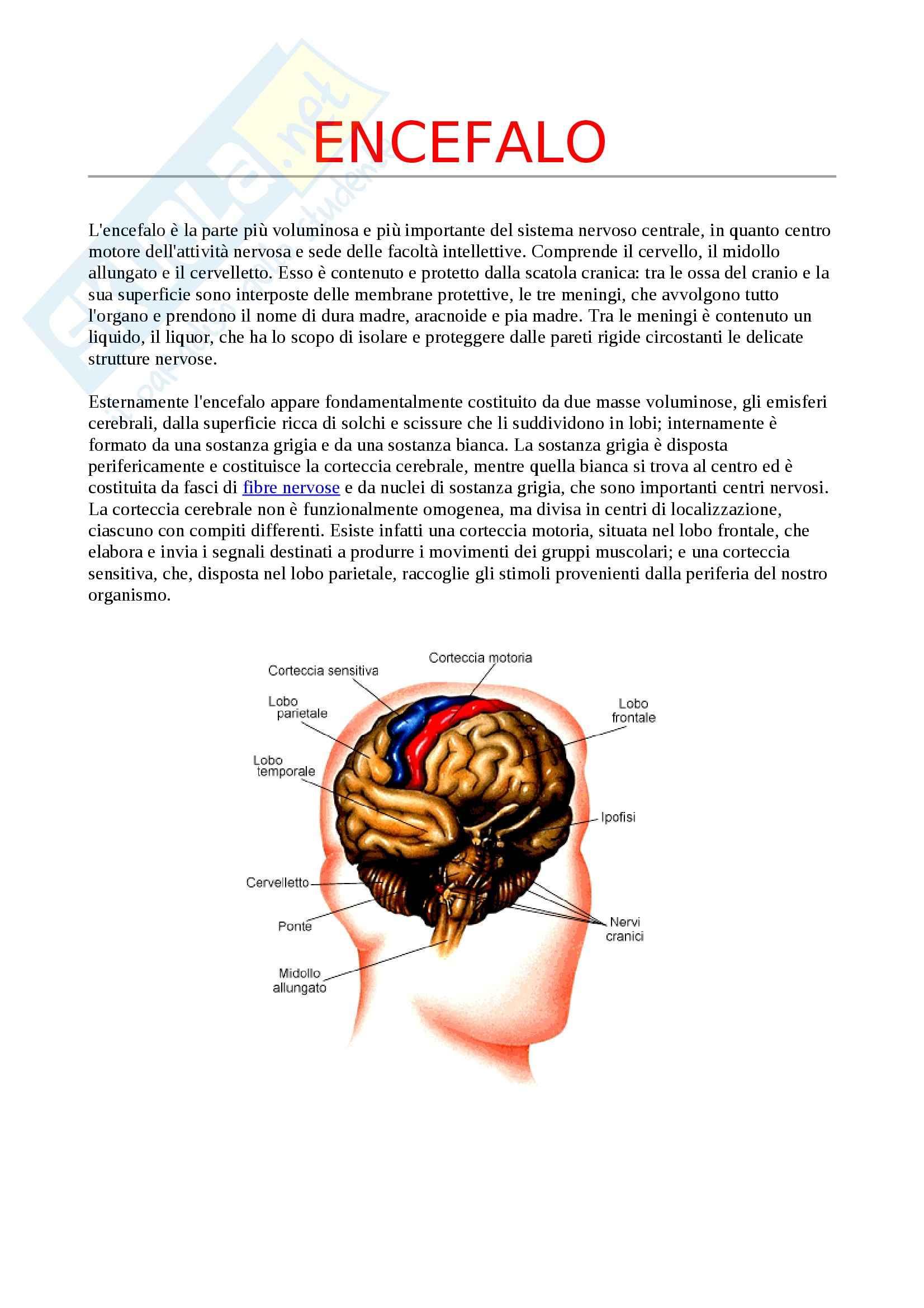 Struttura e funzionamento del sistema nervoso - l'encefalo