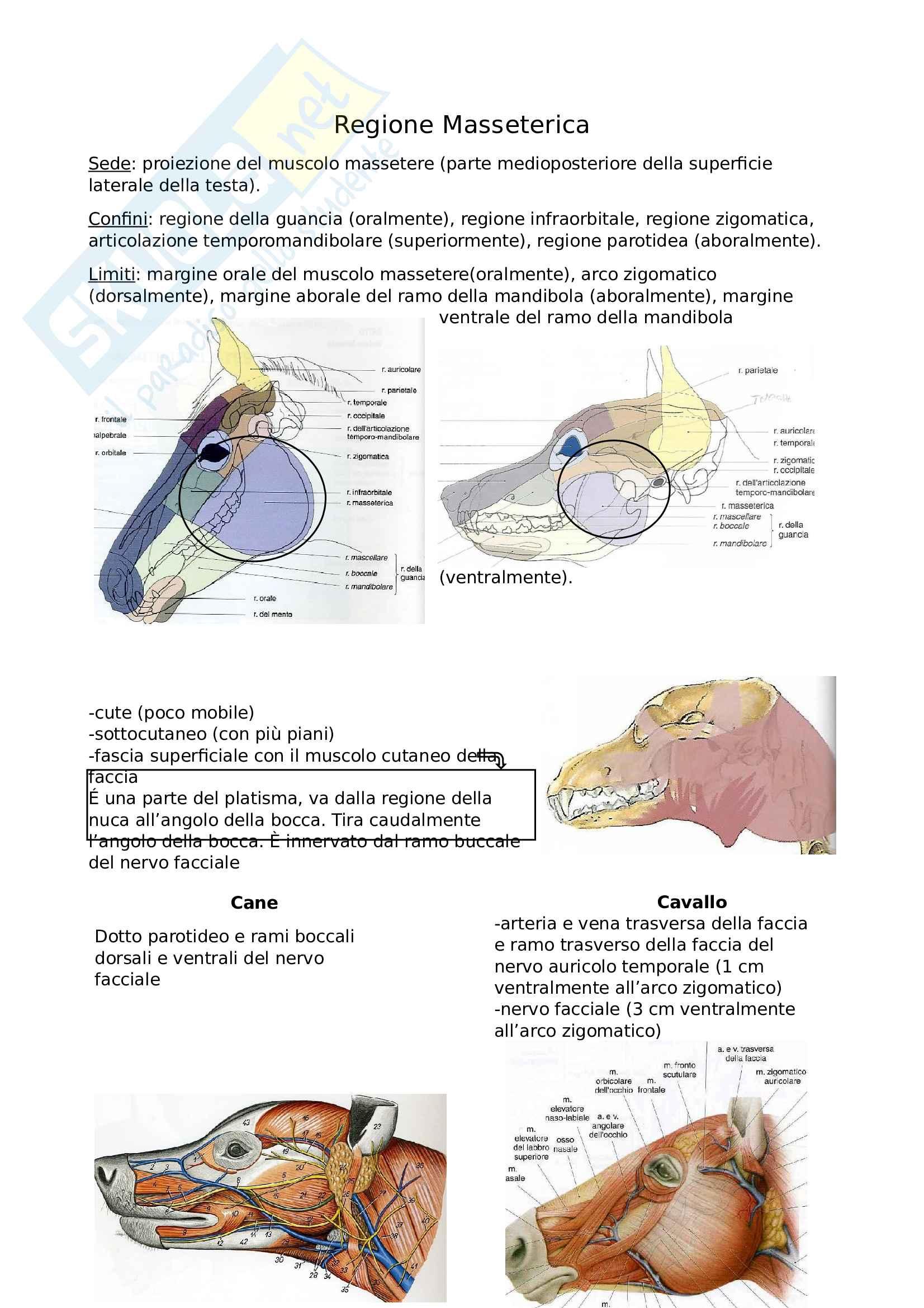 Topografica masseterica, infraorbitale, orbitale, palpebrale, auricolare
