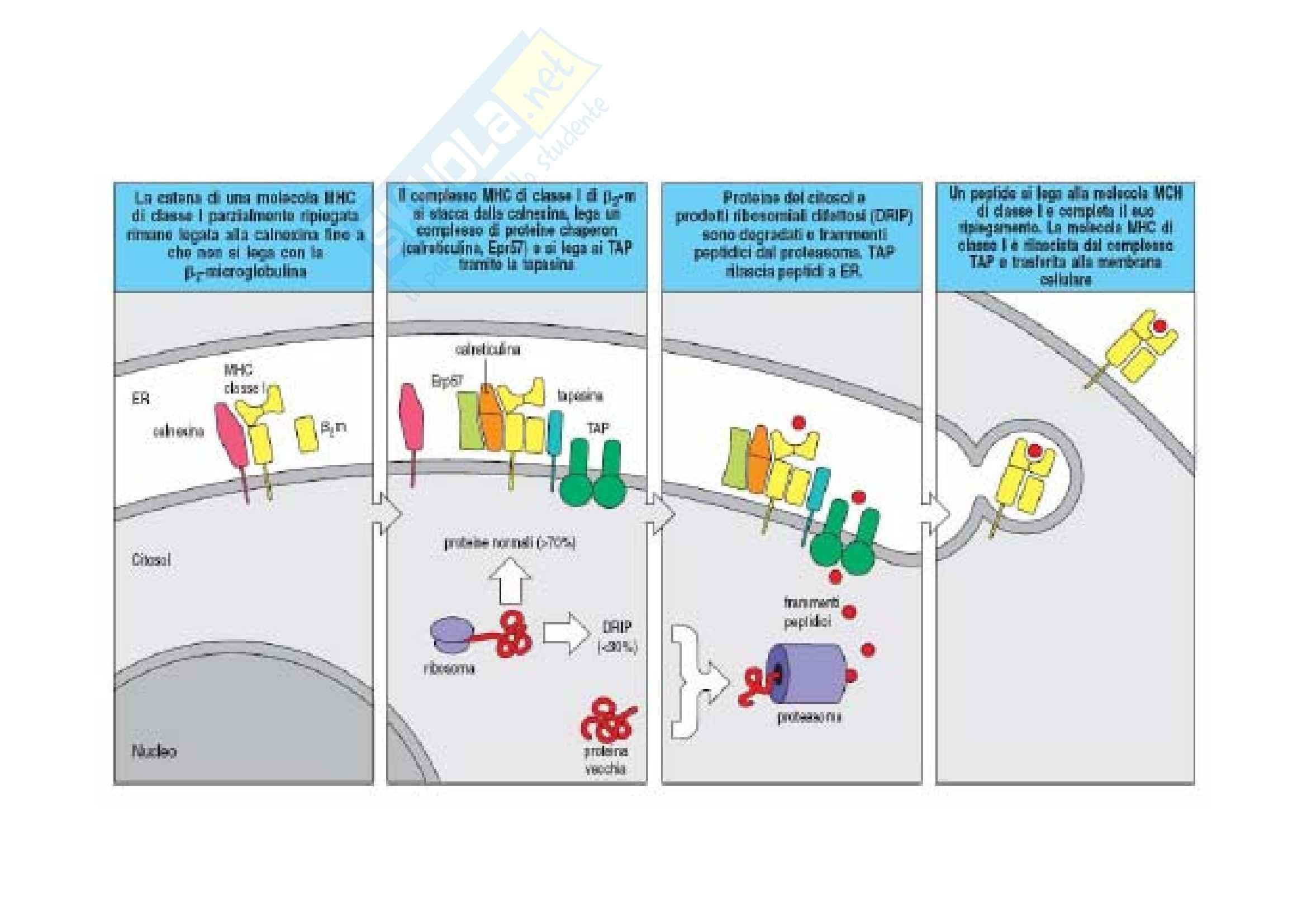 Immunologia - presentazione Ag Pag. 11