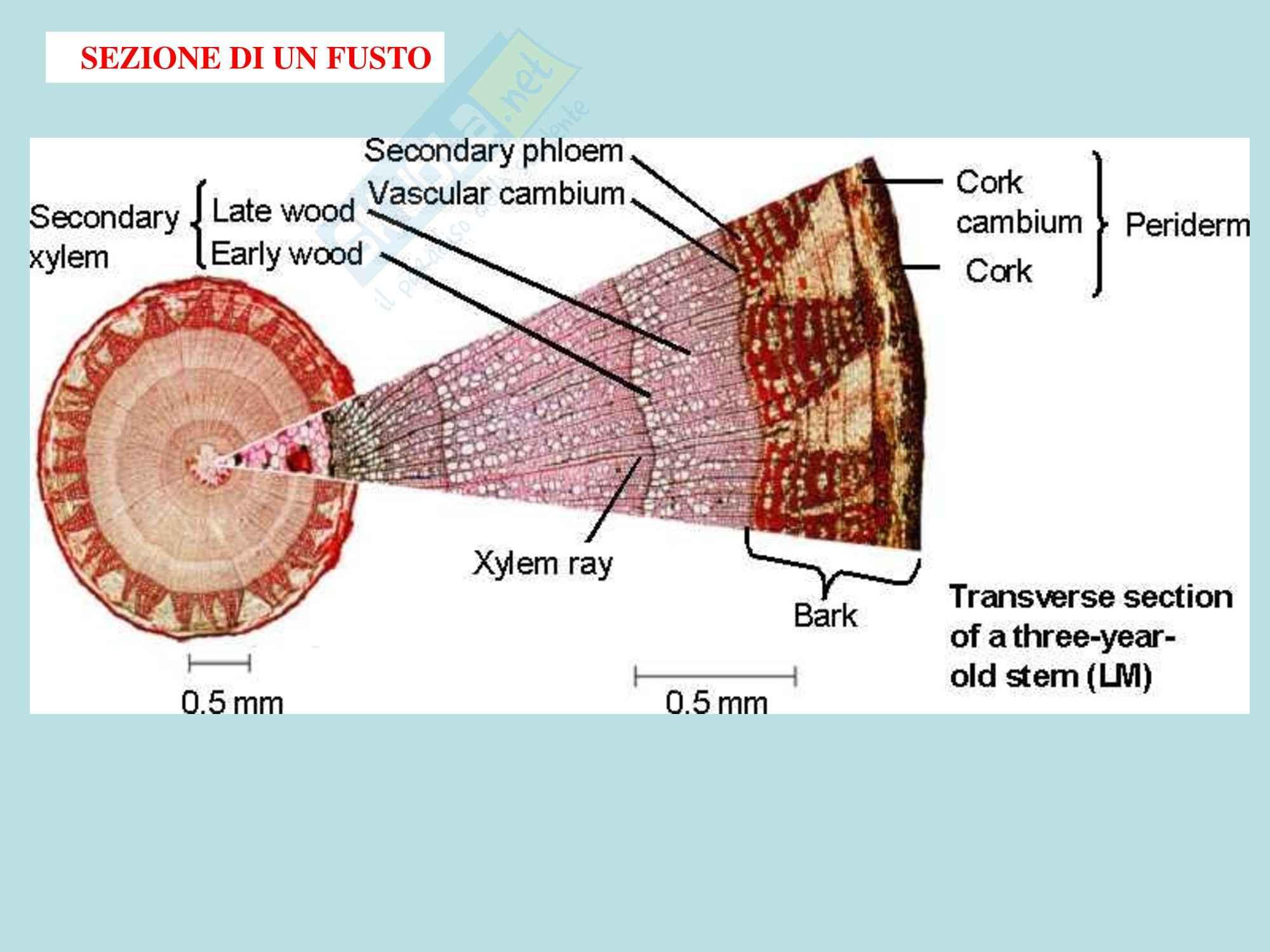 Biologia vegetale - germoglio e fusto parte due