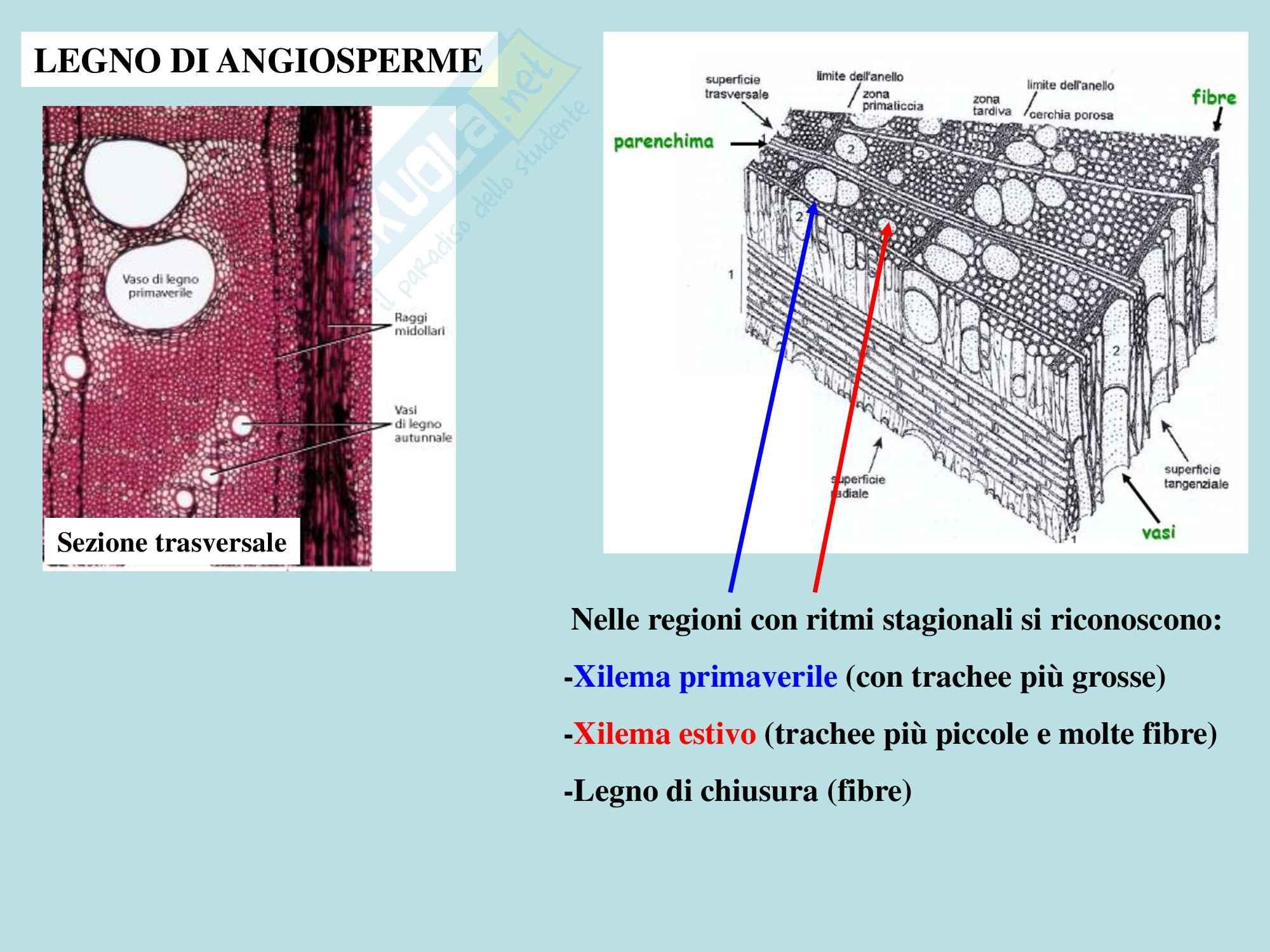 Biologia vegetale - germoglio e fusto parte due Pag. 6
