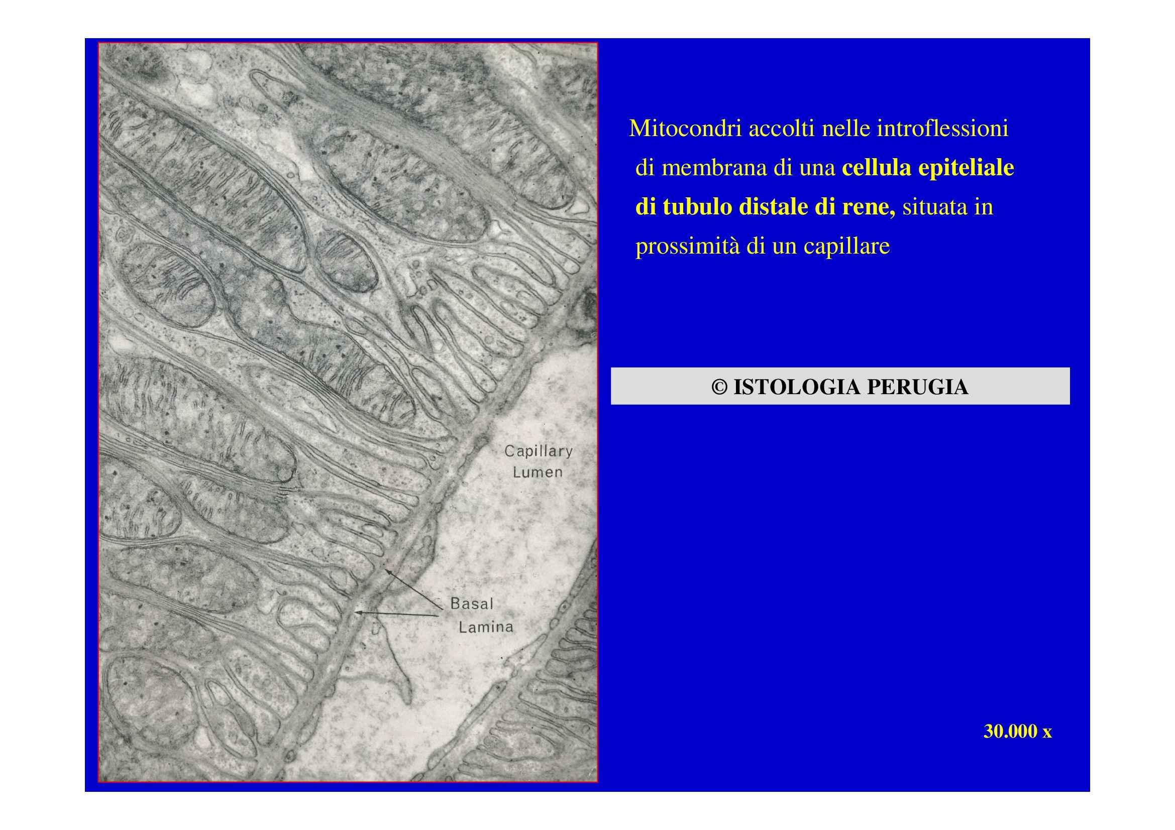 Ultrastruttura cellulare - Organelli