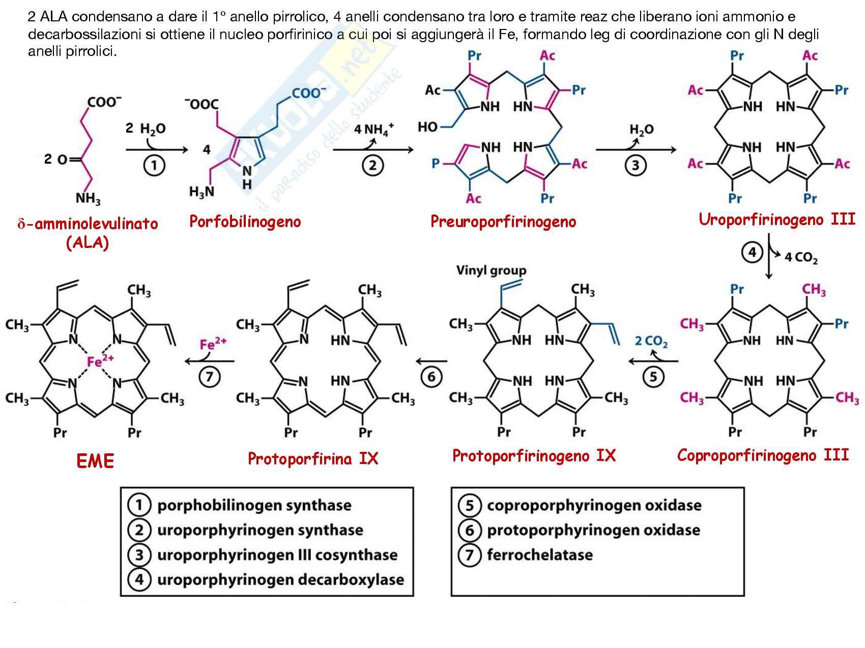 29 Metabolismo dell eme e metabolismo dell etanolo Pag. 6