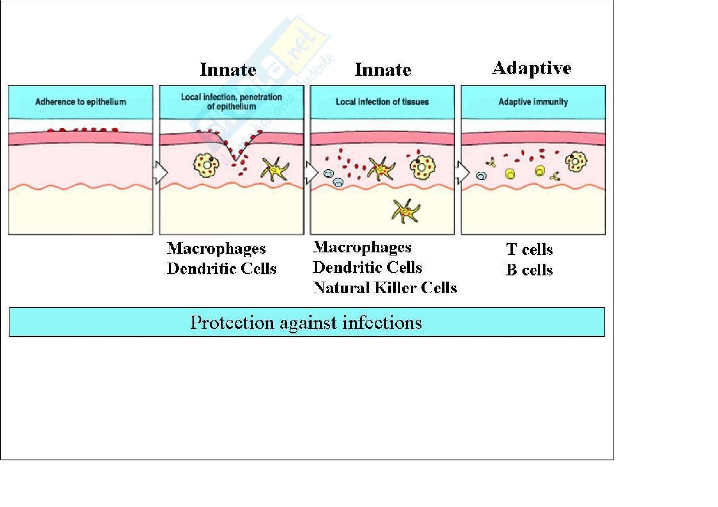 Immunologia – Cellule Dendritiche Pag. 2