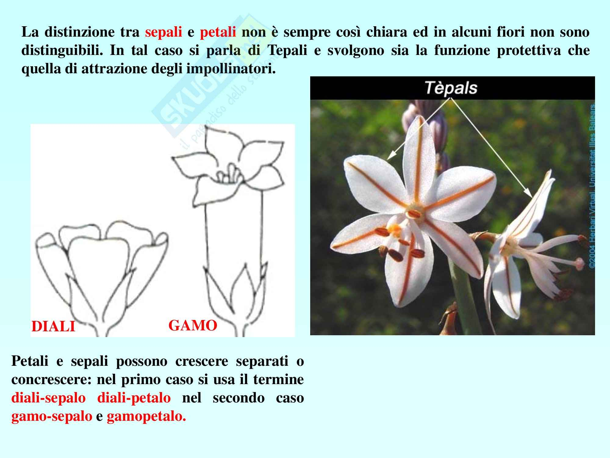 Biologia vegetale - angiosperme Pag. 11