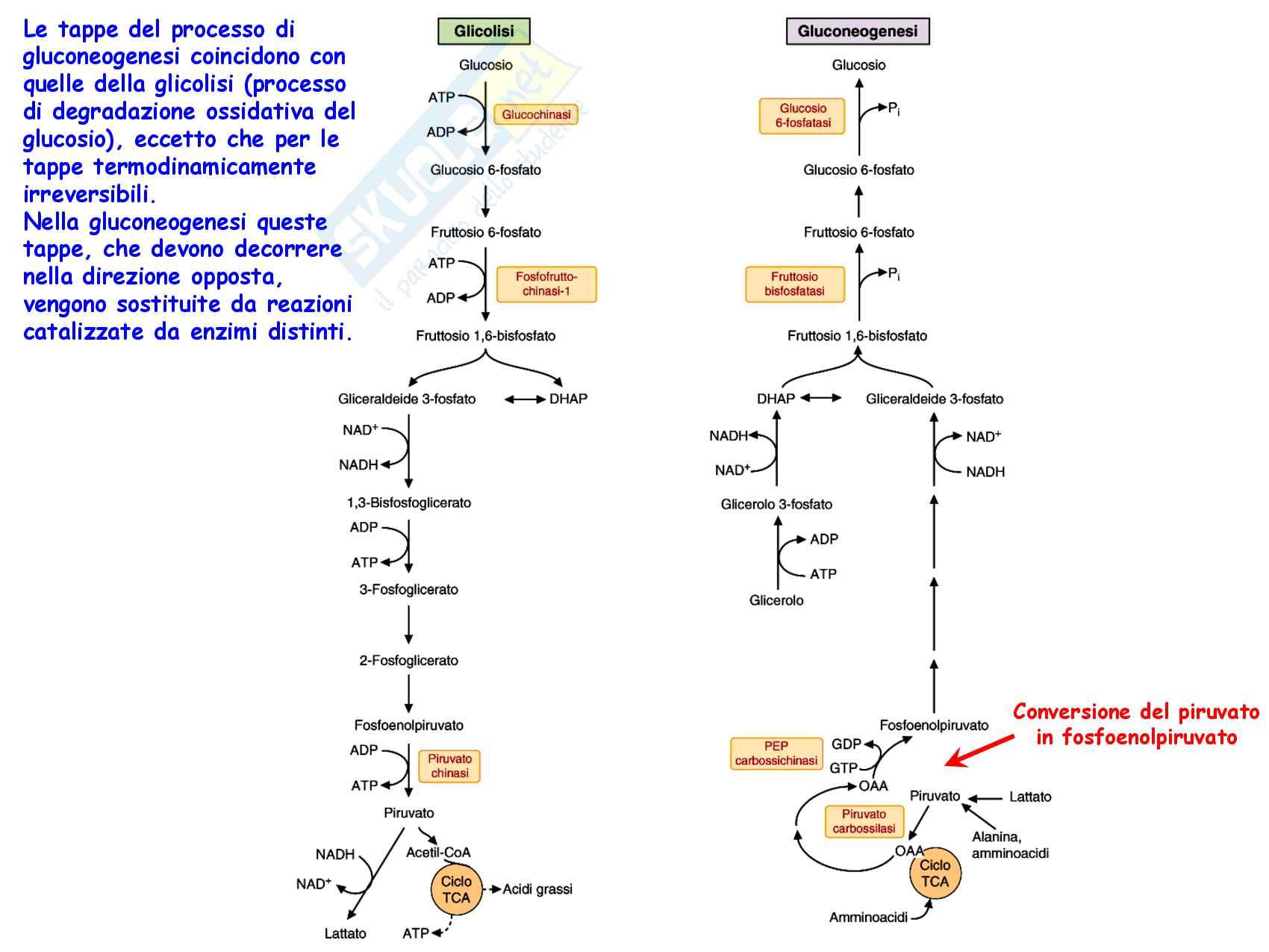 8 Gluconeogenesi, precursori, reazioni chimiche, regolazione e funzioni Pag. 11