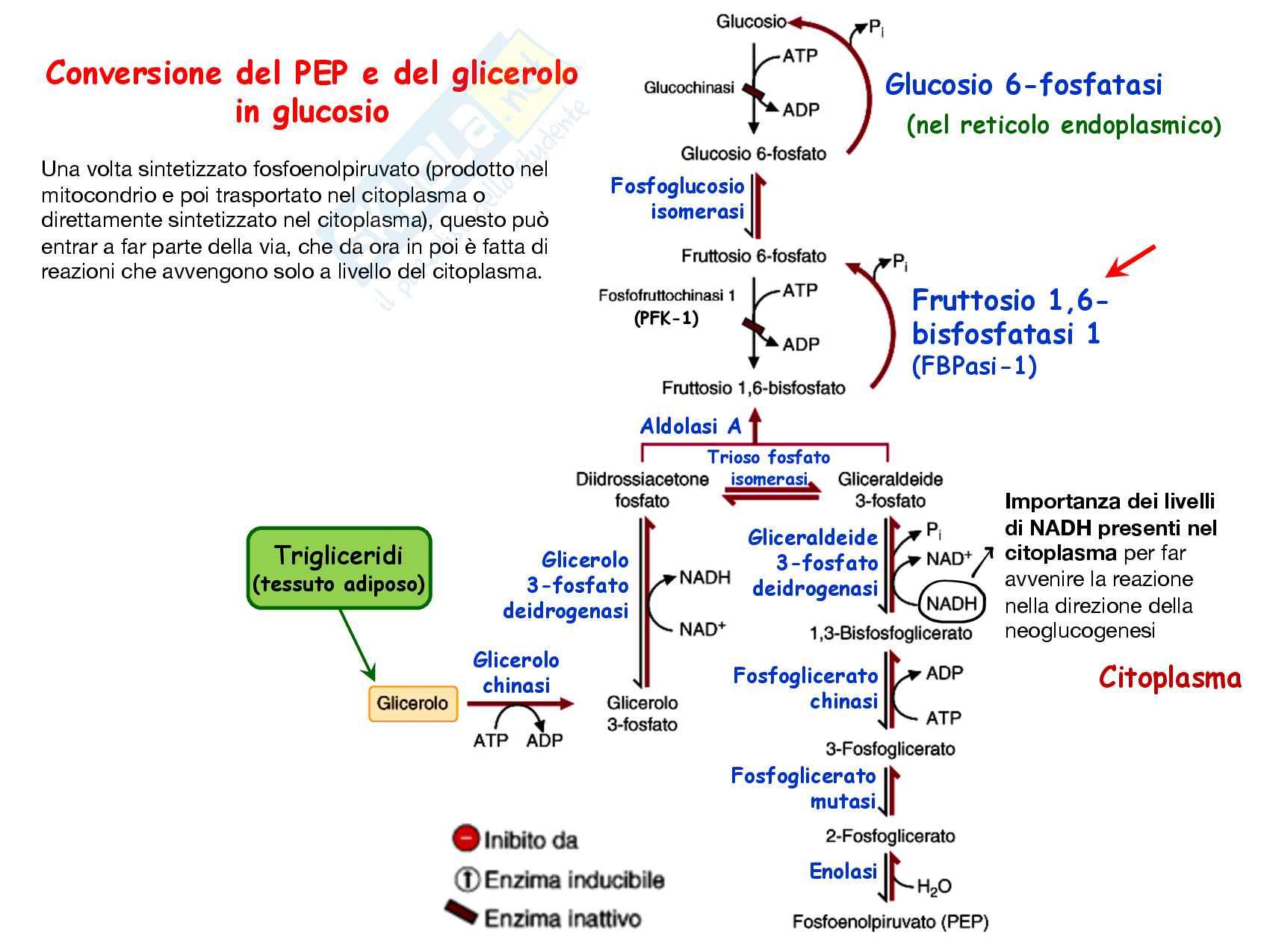 8 Gluconeogenesi, precursori, reazioni chimiche, regolazione e funzioni Pag. 16