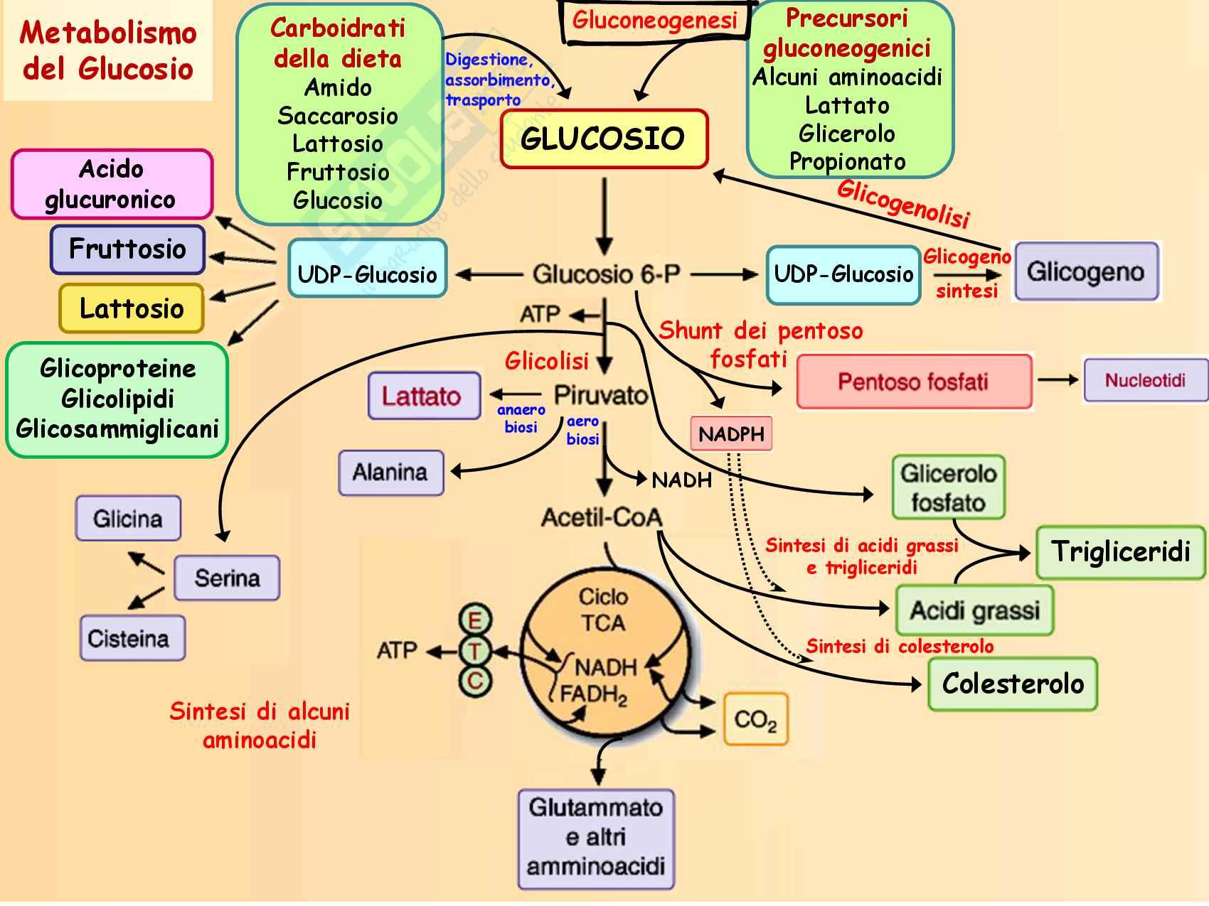 8 Gluconeogenesi, precursori, reazioni chimiche, regolazione e funzioni Pag. 2