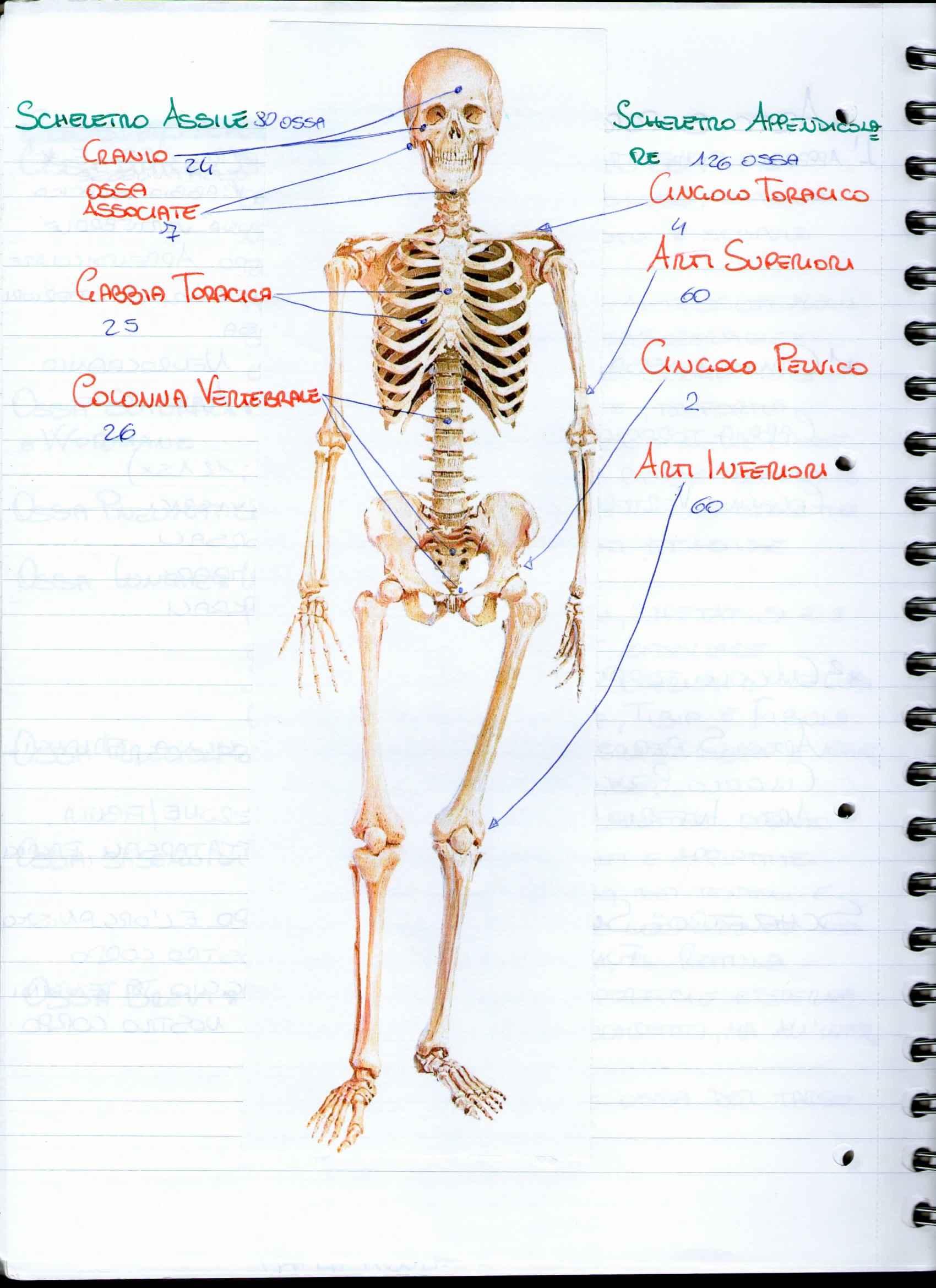 Riassunto esame Anatomia Umana, apparato scheletrico, prof. Ripani, libro consigliato Anatomia umana di Martini, Timmons e Tallitsch Pag. 2