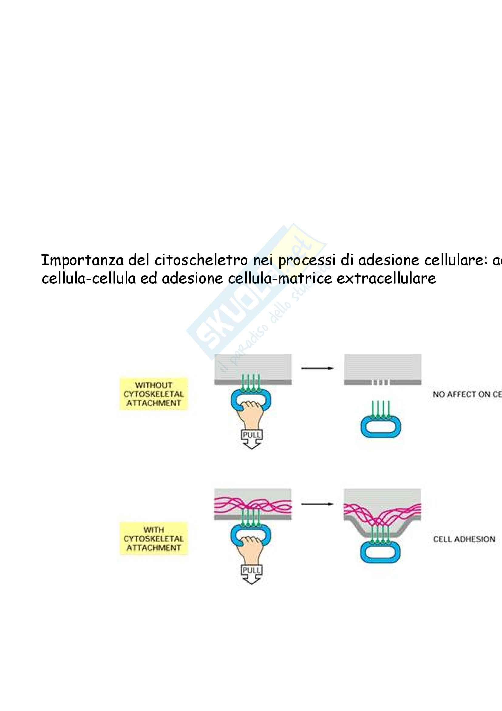 Biologia molecolare - strutture adesive