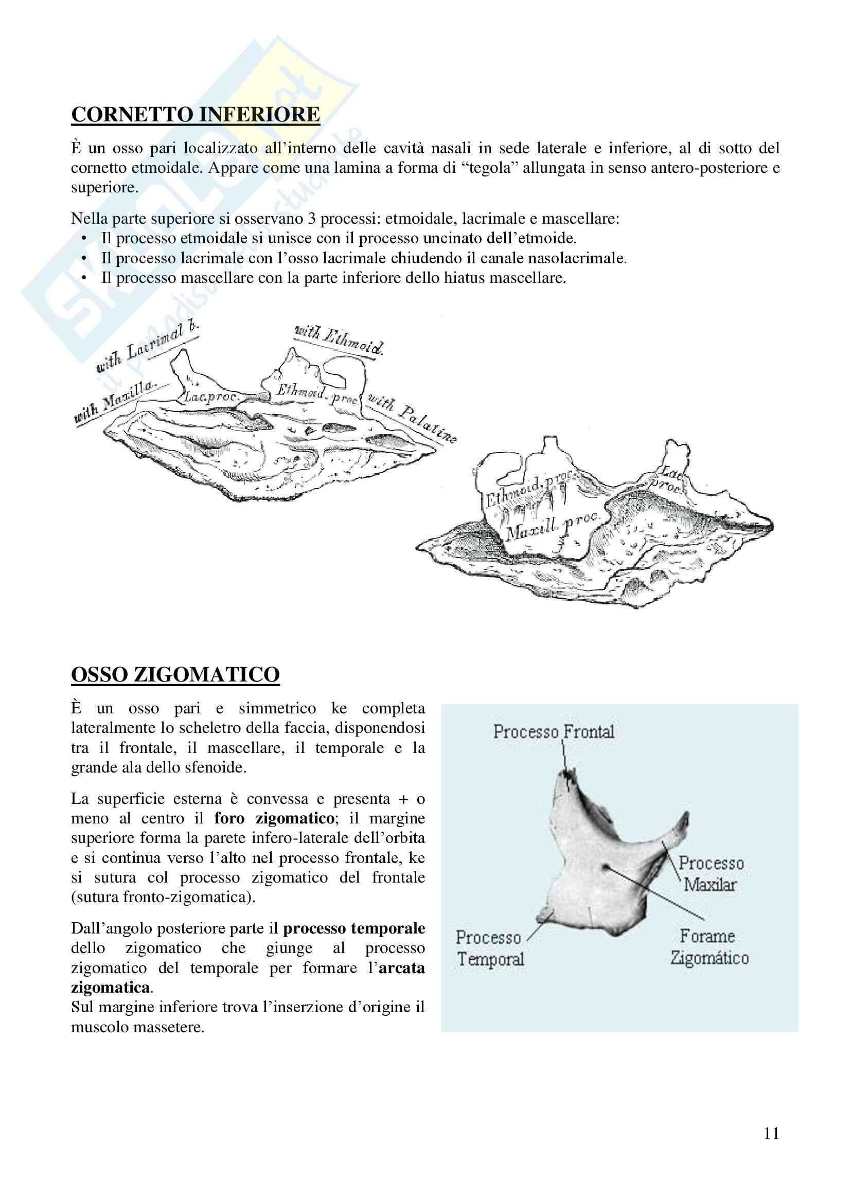 Ossa del cranio, Anatomia dell'apparato stomatognatico Pag. 11