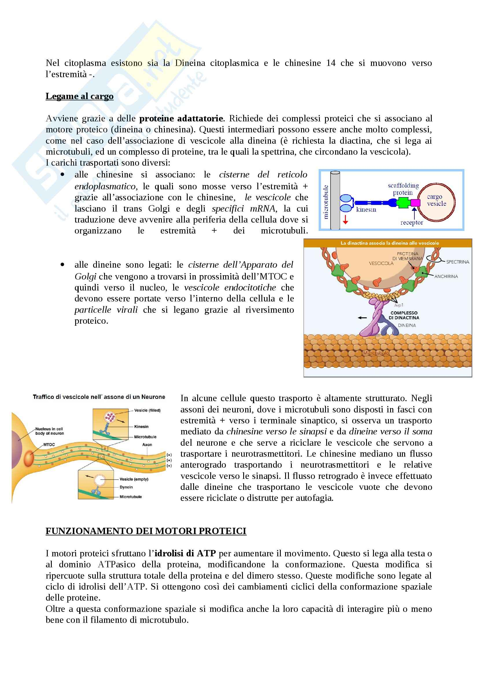 Citologia - motori proteici dei microtubuli Pag. 2