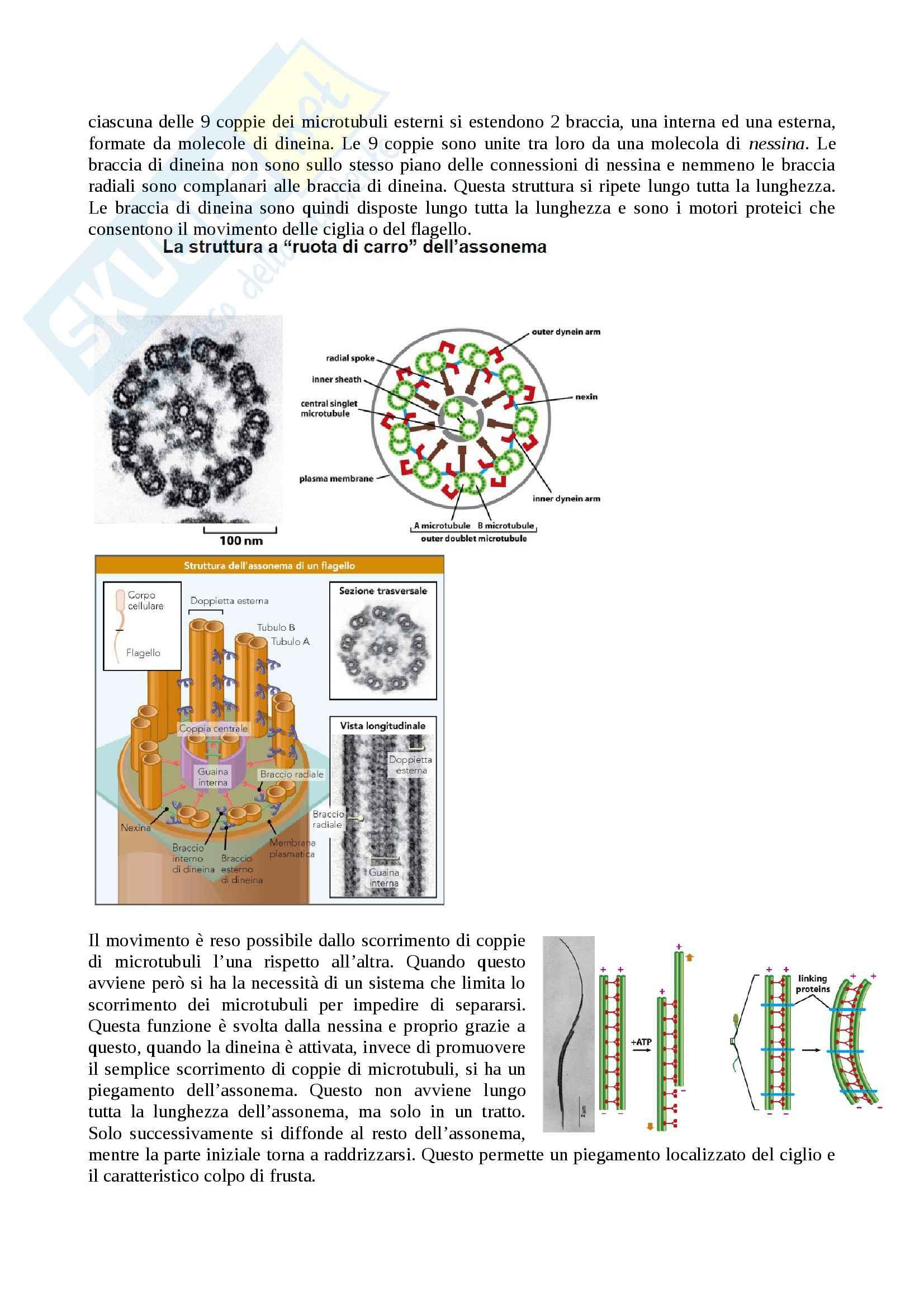 Citologia - motori proteici dei microtubuli Pag. 6
