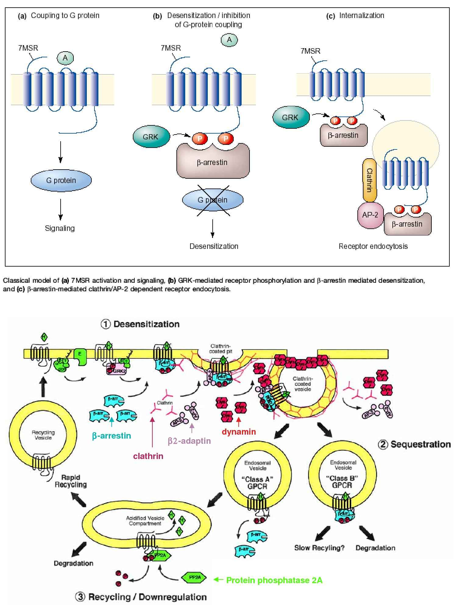 Fosfolipasi C