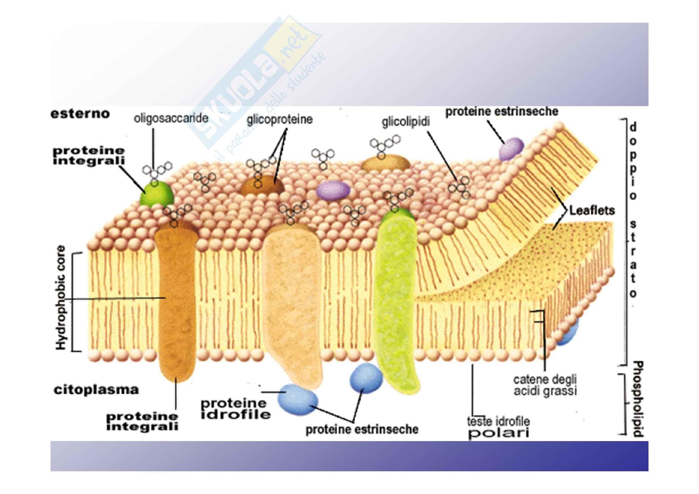 Membrane e trasporti transmembrana Pag. 2