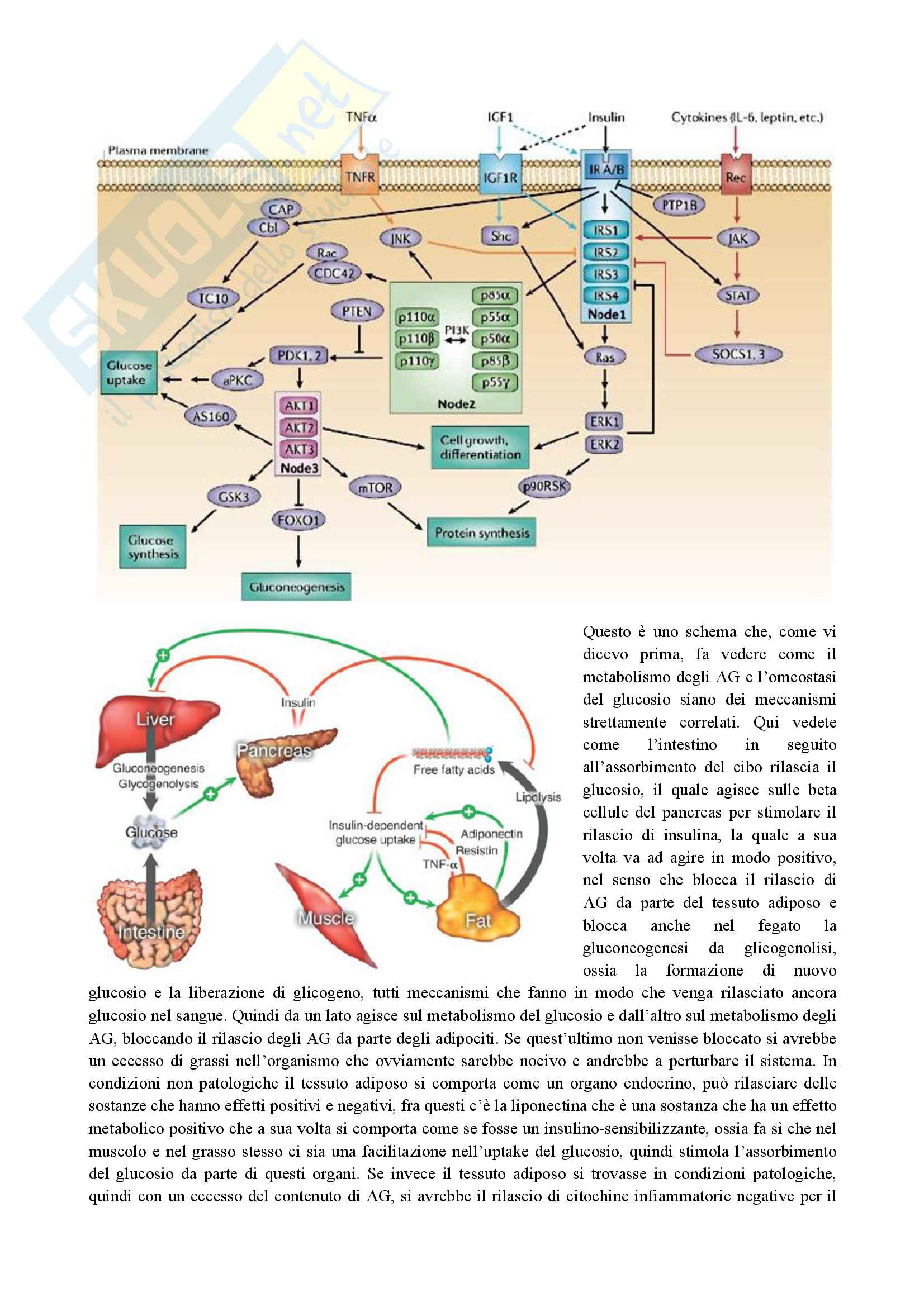 Endocrinologia Granata parte 1 Pag. 21