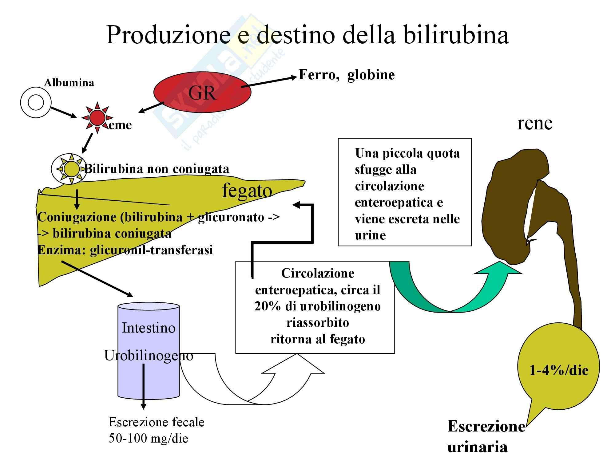 Fegato e Bile - Funzioni epatiche Pag. 2