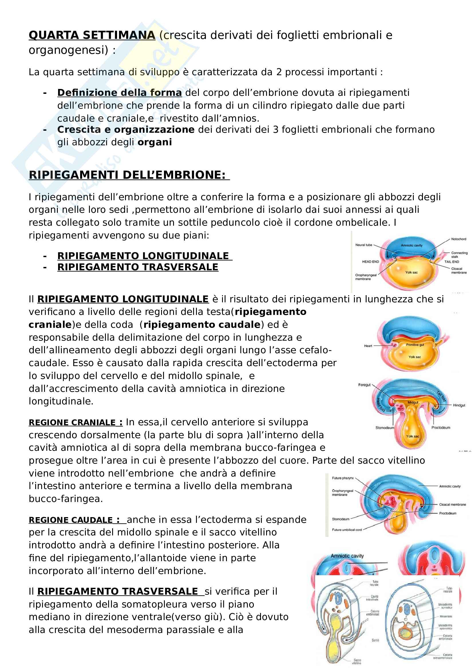 Quarta settimana embriogenesi -Riassunto esame Embriologia, prof. Canipari, libro consigliato De felici