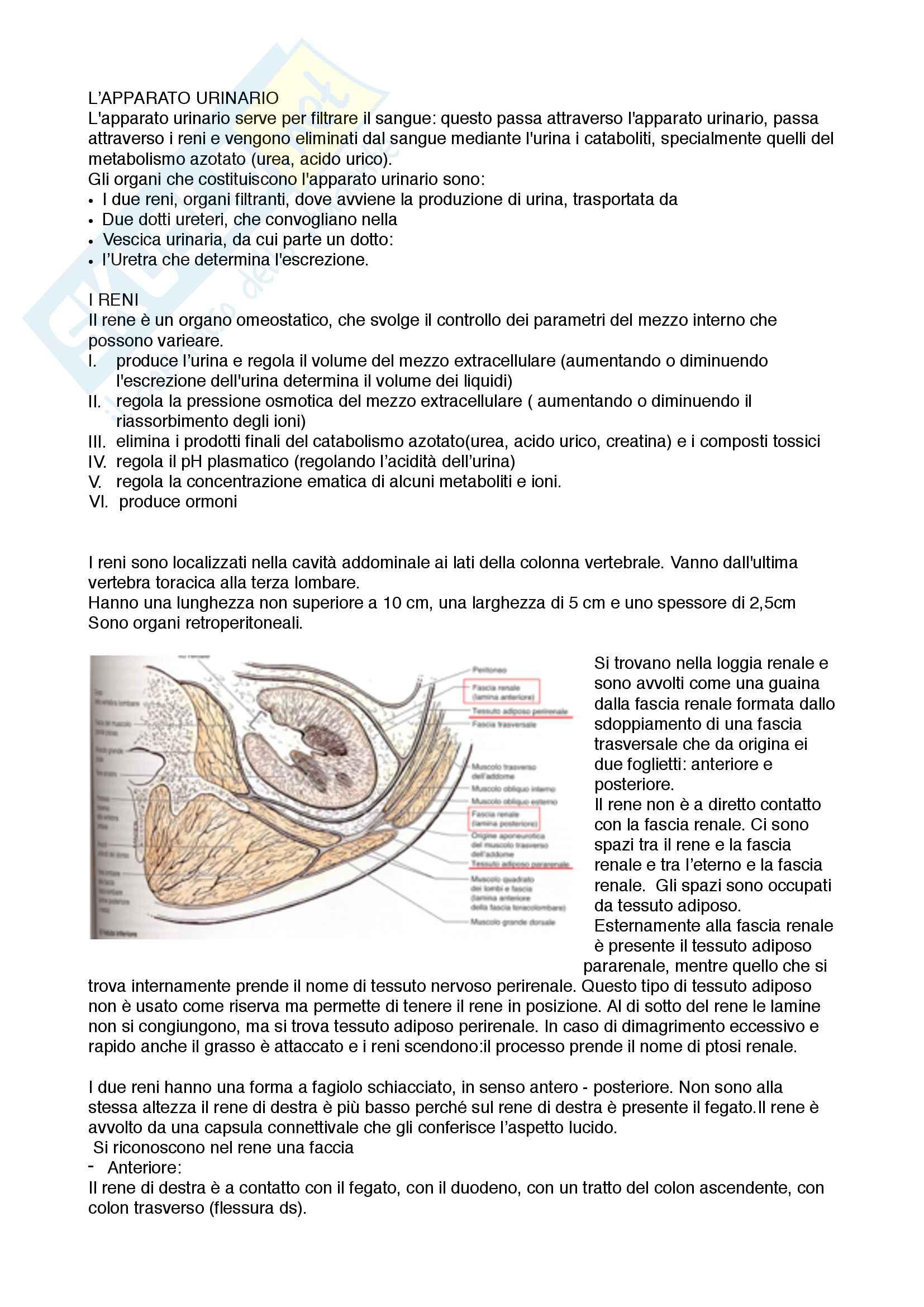 Sistema Nervoso Endocrino Urinario e Digerente Pag. 36