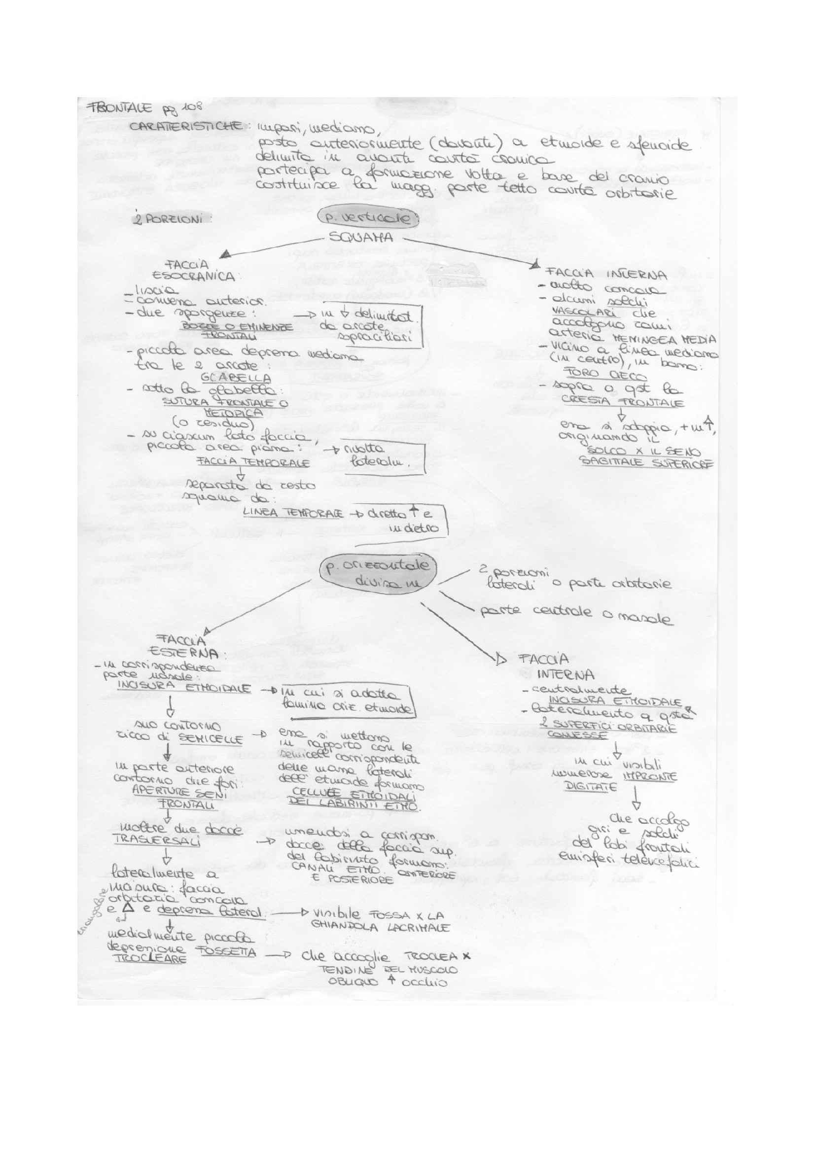 Anatomia degli organi e degli apparati - schema osso frontale