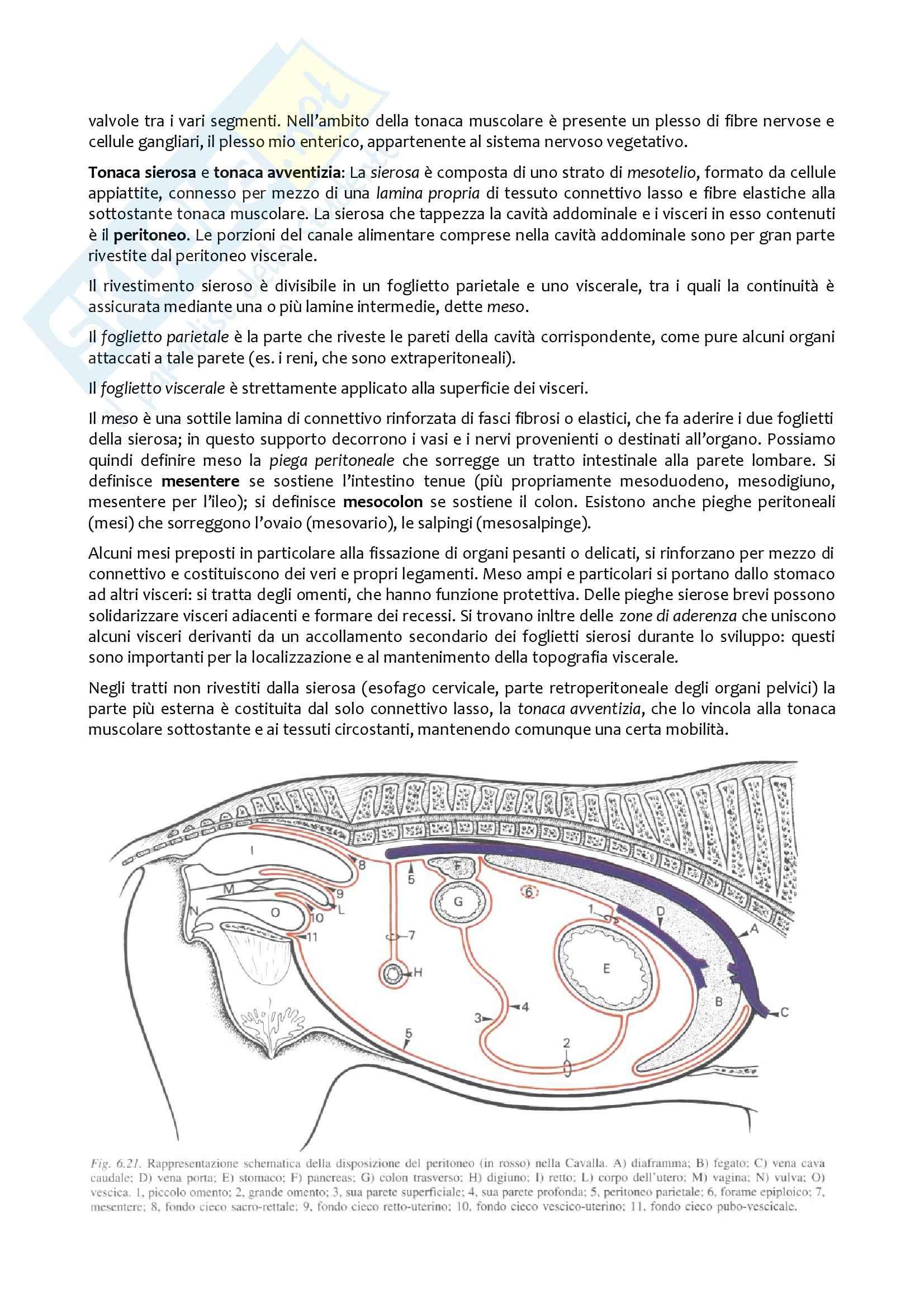 Apparato Digerente, Anatomia con elementi di istologia Pag. 2